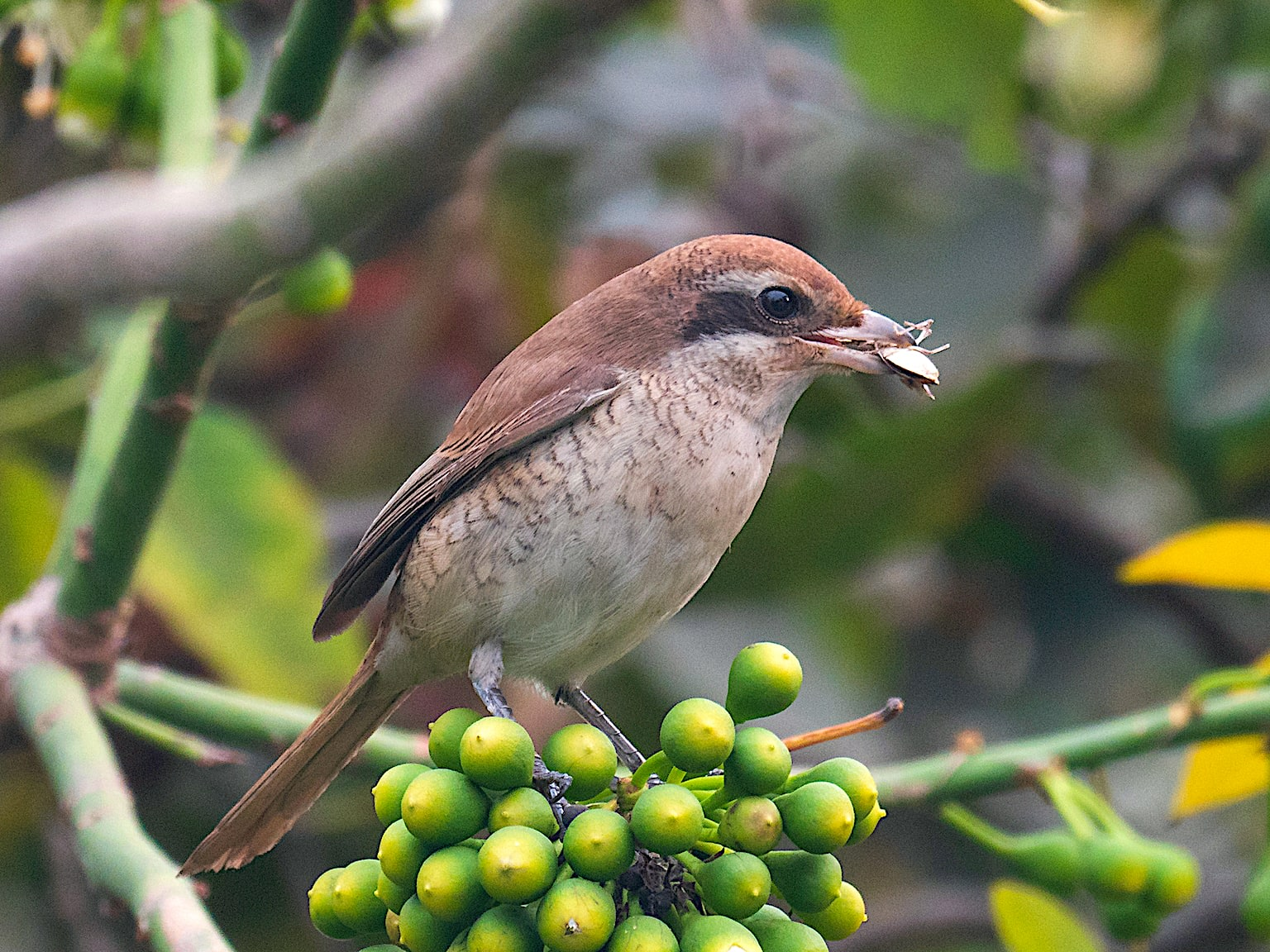 The brown shrike mostly feeds on insects, but occasionally it also hunts small birds and lizards.  Photo: Debasis Das/Shutterstock