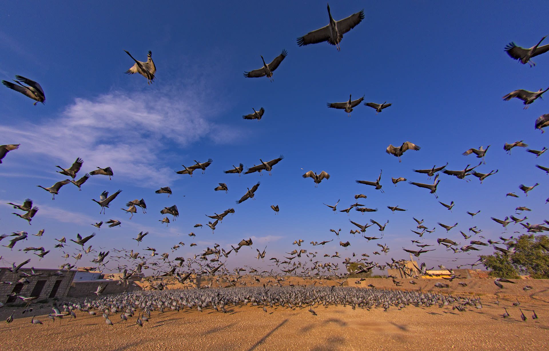 """At the heart of the action in Kheechan is the bird feeding house, where volunteers arrive every morning to scatter grain for the birds. By breakfast time, the compound is filled with demoiselle cranes, emitting loud, honking calls. """"It is very crowded,"""" says wildlife photographer Dhritiman Mukherjee. """"But there is no conflict between the birds, no fighting, or pecking at each other. They are quite peaceful."""""""