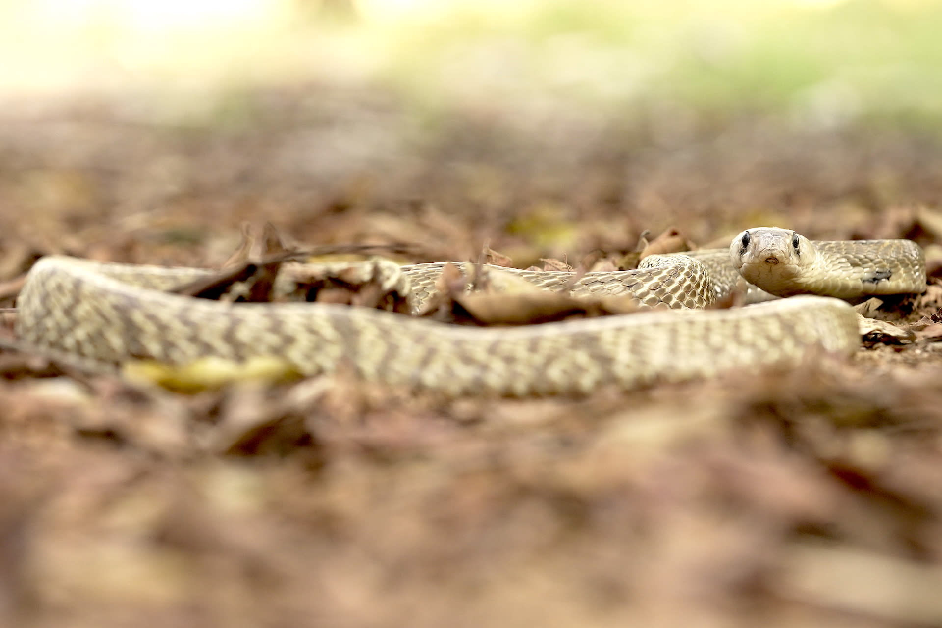 Capable of growing up to around two metres, the cobra mainly feeds on rodents, lizards, and frogs. Photo: Gerry Martin  Cover Photo: Smooth scales, black eyes, and a wide neck and head characterise the spectacled cobra, one of the most common venomous snakes found in India. Cover Photo: Gerry Martin