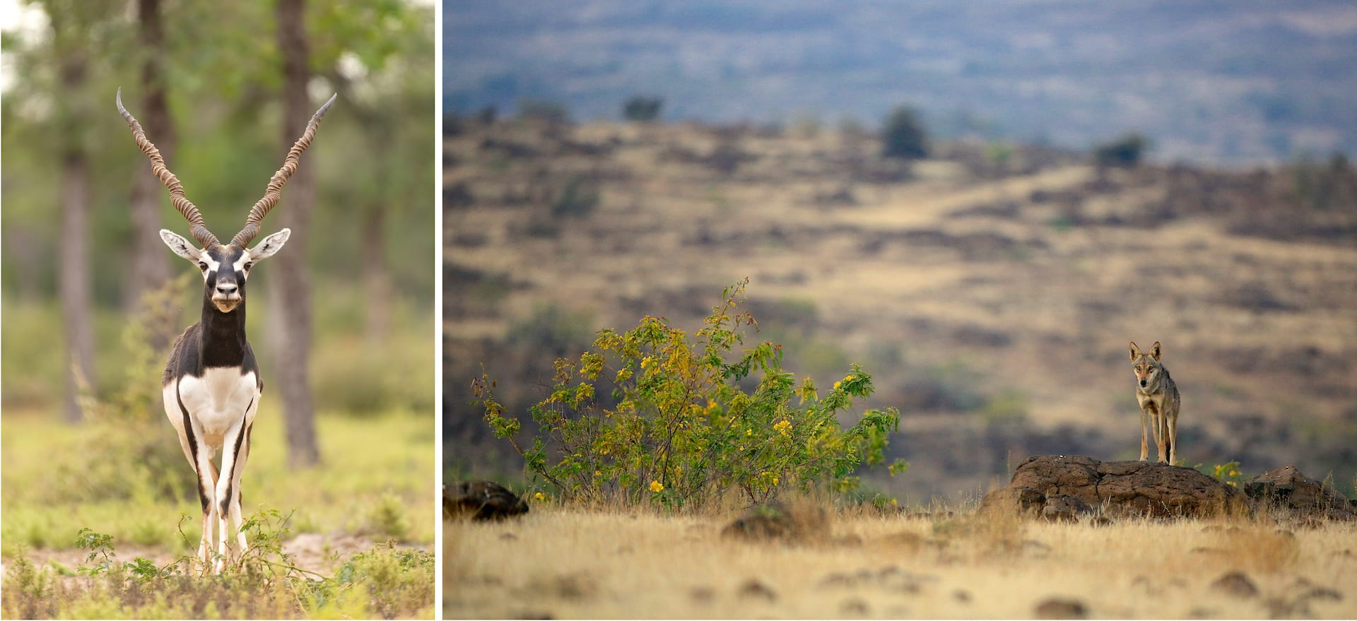(Left) In Rajasthan, blackbucks prefer grasslands for the grazing opportunities they offer. For blackbucks to continue to survive this habitat needs to be protected. (Right) Indian wolves that have made their home in the Saswad grasslands on the outskirts of Pune, Maharashtra, face a perilous existence as they negotiate spaces encroached by humans.  Photos: Vipul Ramanuj (left), Mihir Godbole/The Grassland Trust (right)