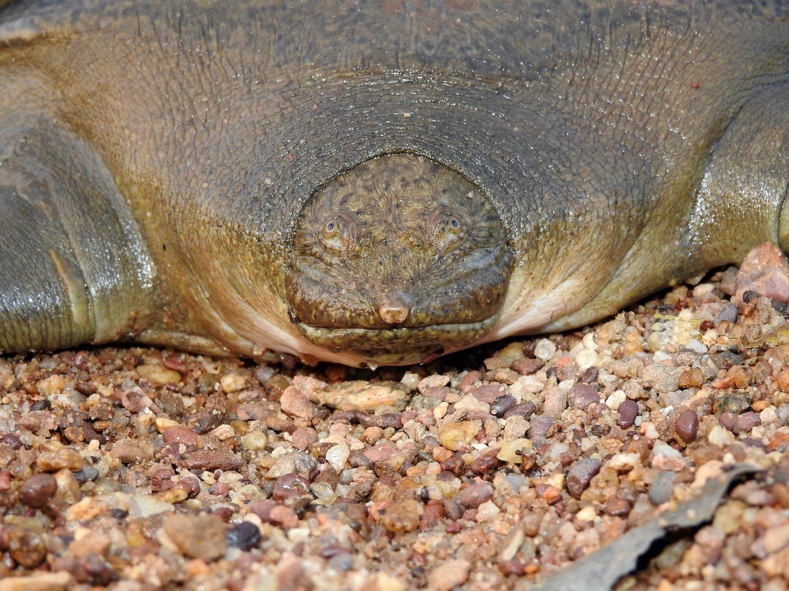 "Due to its unique frog-like facial features, the Cantor's giant softshell turtle is also referred to as ""frog-faced softshell turtle"". Photo: Ayushi Jain  Cover photo: The Cantor's giant softshell turtle is known to inhabit the deeper areas of riverine systems. Unlike other freshwater turtles, typical basking behaviour is not yet documented for this species. Cover photo: Ayushi Jain"