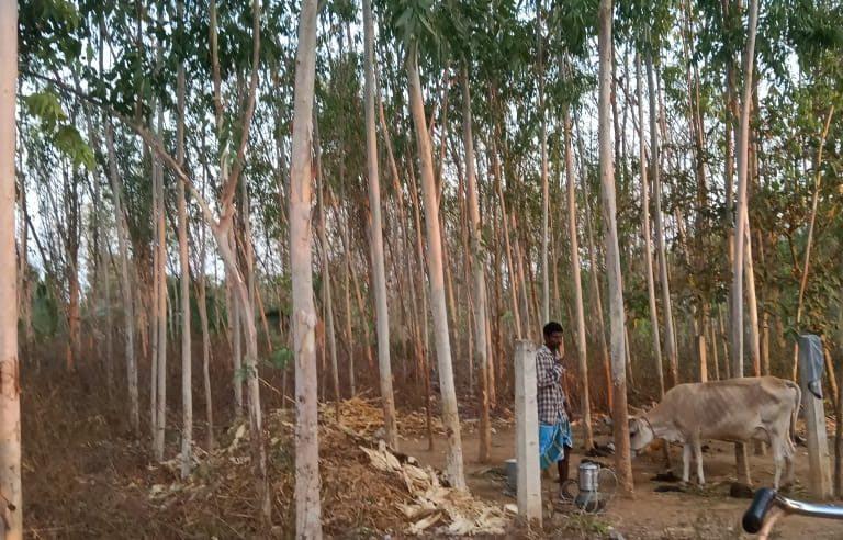 Farmers are increasingly favouring eucalyptus in the Vizianagaram district. Photo: Anil Kumar  Cover photo: Representational photograph of a eucalyptus plantation. Cover photo: Krishnashiva57/Shutterstock