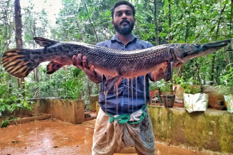A man displays an alligator gar caught from a river in Kerala. The fish can measure up to three metres in length and could put the native fish species at risk. Photo from Smrithy Raj  Cover photo: Pterygoplichthys sp, an invasive fish. Cover Photo: Asep Rizki Nugraha/Shutterstock