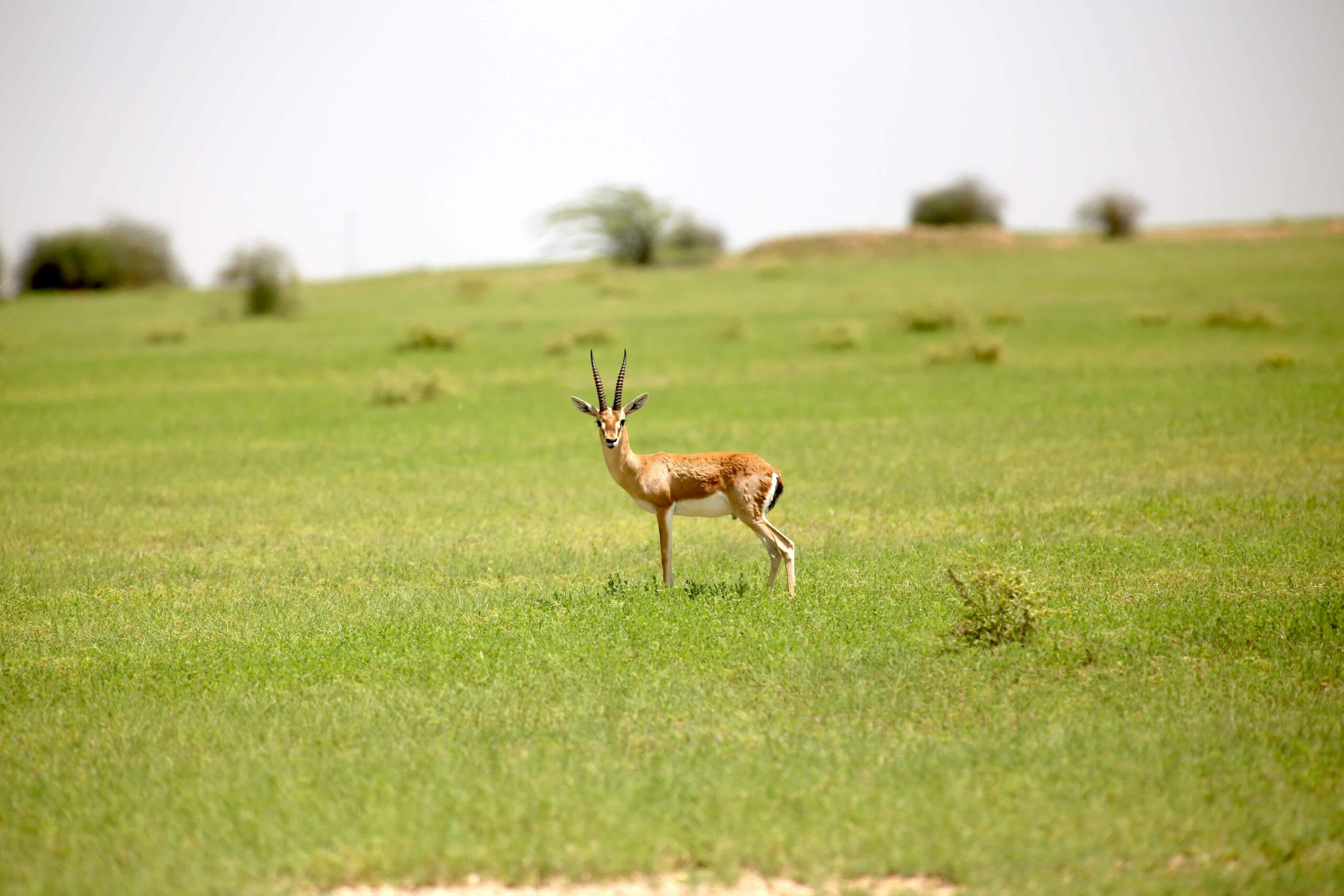 Wedged between the Thar Desert and the Aravallis, the district of Jodhpur's habitat is largely flat with thorny scrub forests. This mostly brown landscape comes alive between June and September when the region receives some rain. Blackbuck and chinkara (pictured here) live here year-round. Photo: Surya Ramachandran