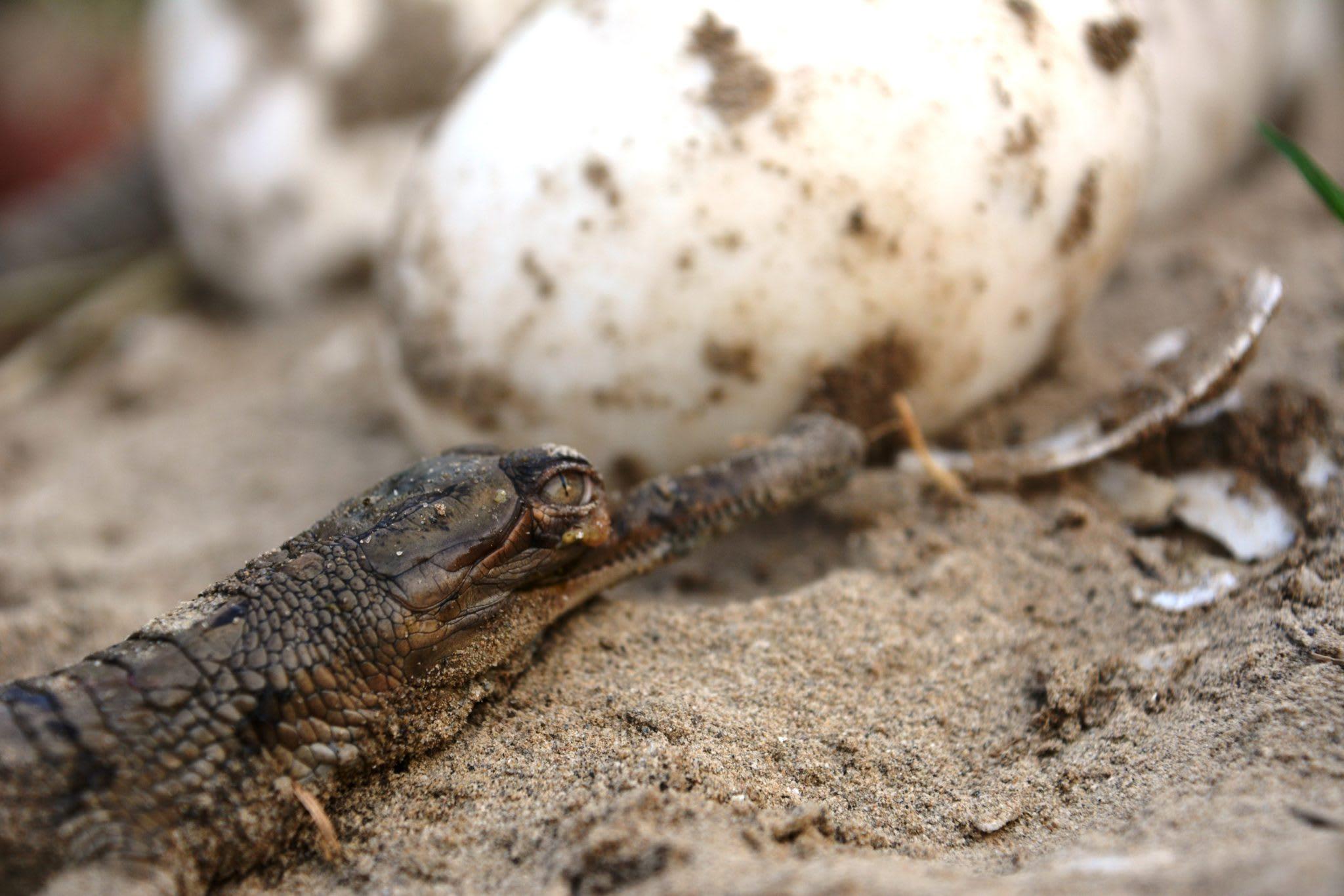 A gharial hatchling. Photo: Gaurav Vashistha