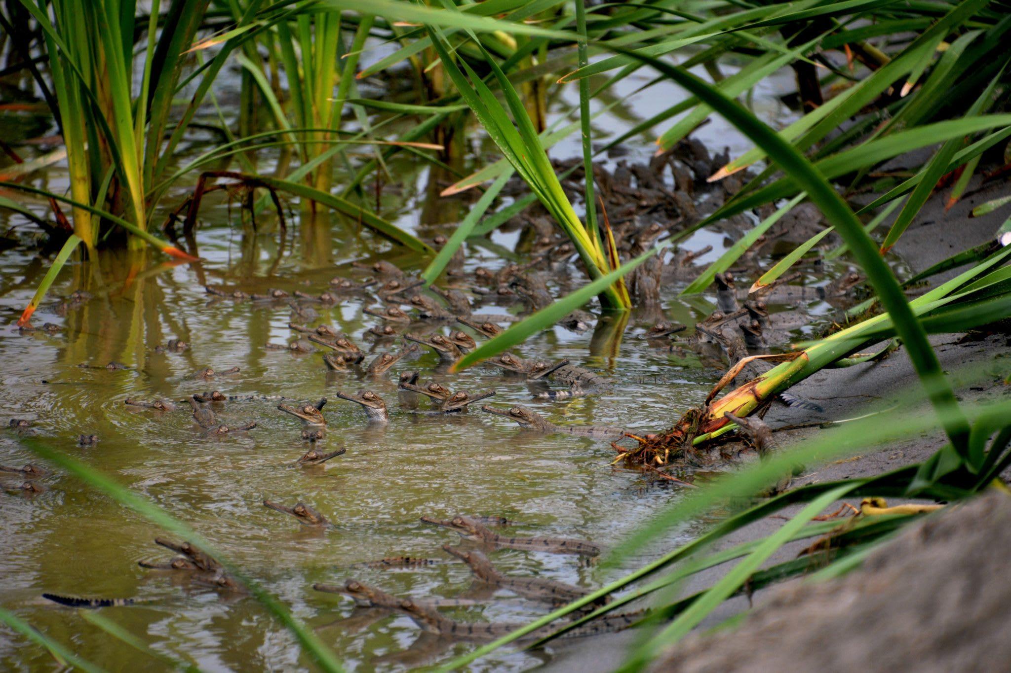 Gharial hatchlings. Photo: Gaurav Vashistha