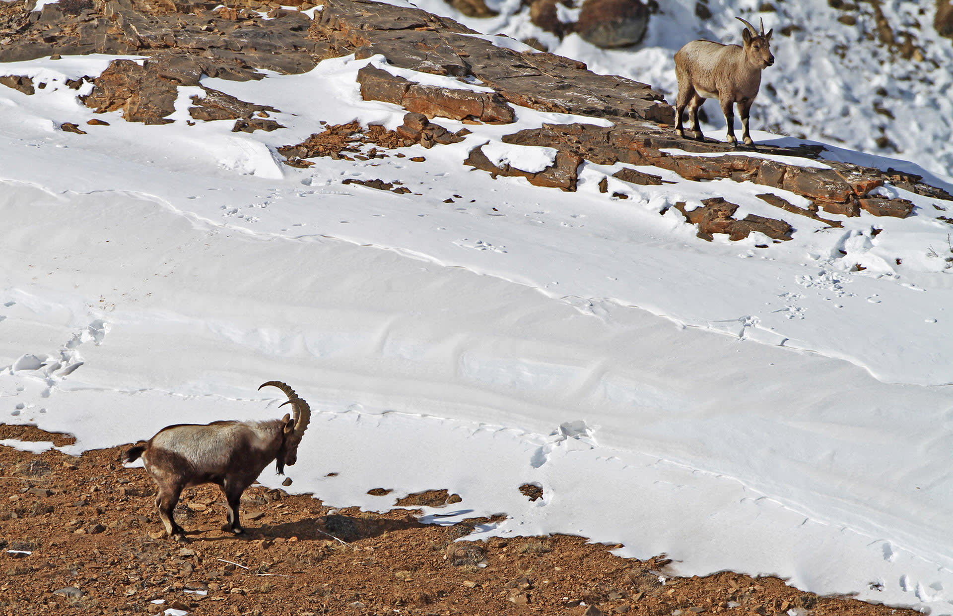 The Himalayan ibex's most striking feature is its huge, curved horns, characterised by notches in the front. Its fur ranges from pale to dark brown, and varies in thickness according to the season. Photo: Dhritiman Mukherjee