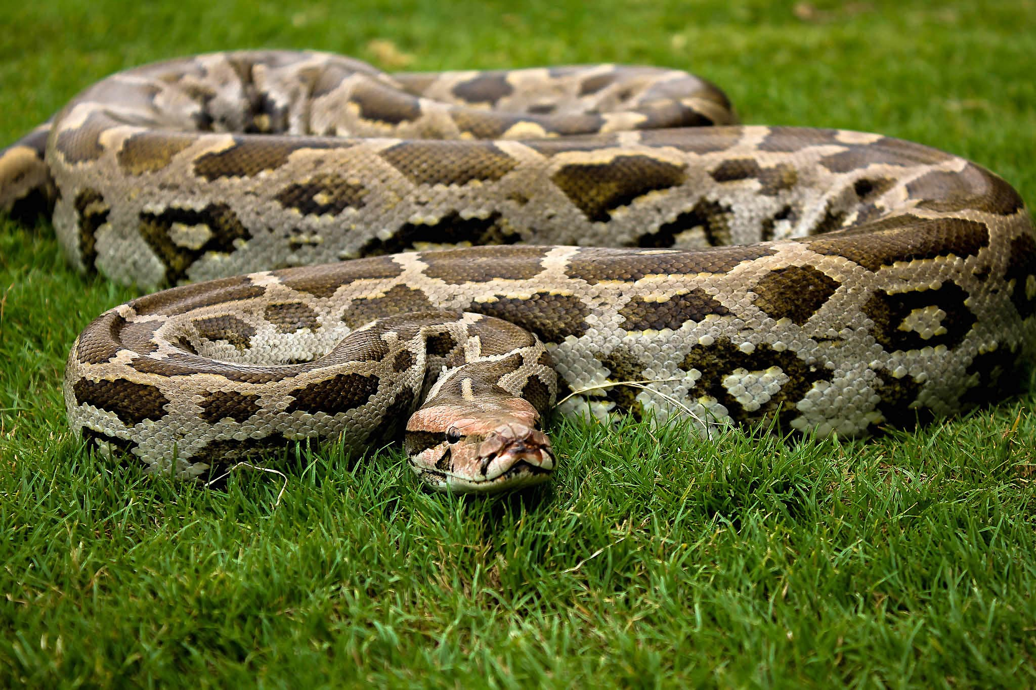 The Indian rock python has poor eyesight and uses its heat-sensing pits to detect warm-bodied prey in its surroundings. Photo: Girish Choure  Cover photo: Indian rock pythons occupy various habitats such as rainforests, river valleys, woodlands, scrublands, marshes, and rocky outcrops. They usually prefer spots with vegetation so they can hide. Cover photo: Nirmal Kulkarni