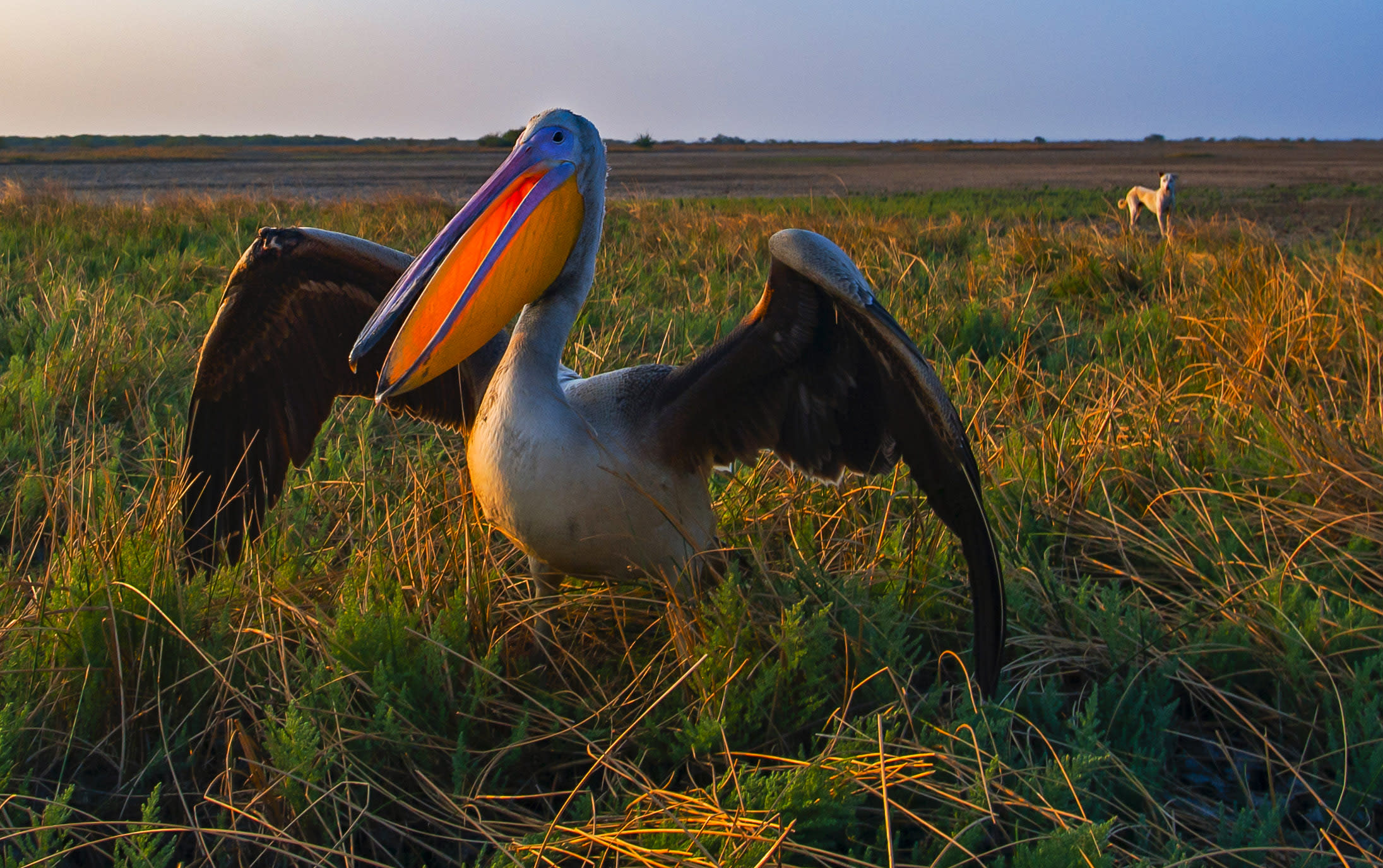 Free-ranging dogs are an emerging threat to pelicans and other waterbirds in the Little Rann of Kutch, Gujarat. They are known to hunt pelicans and destroy their nests. Photo: Dhritiman Mukherjee