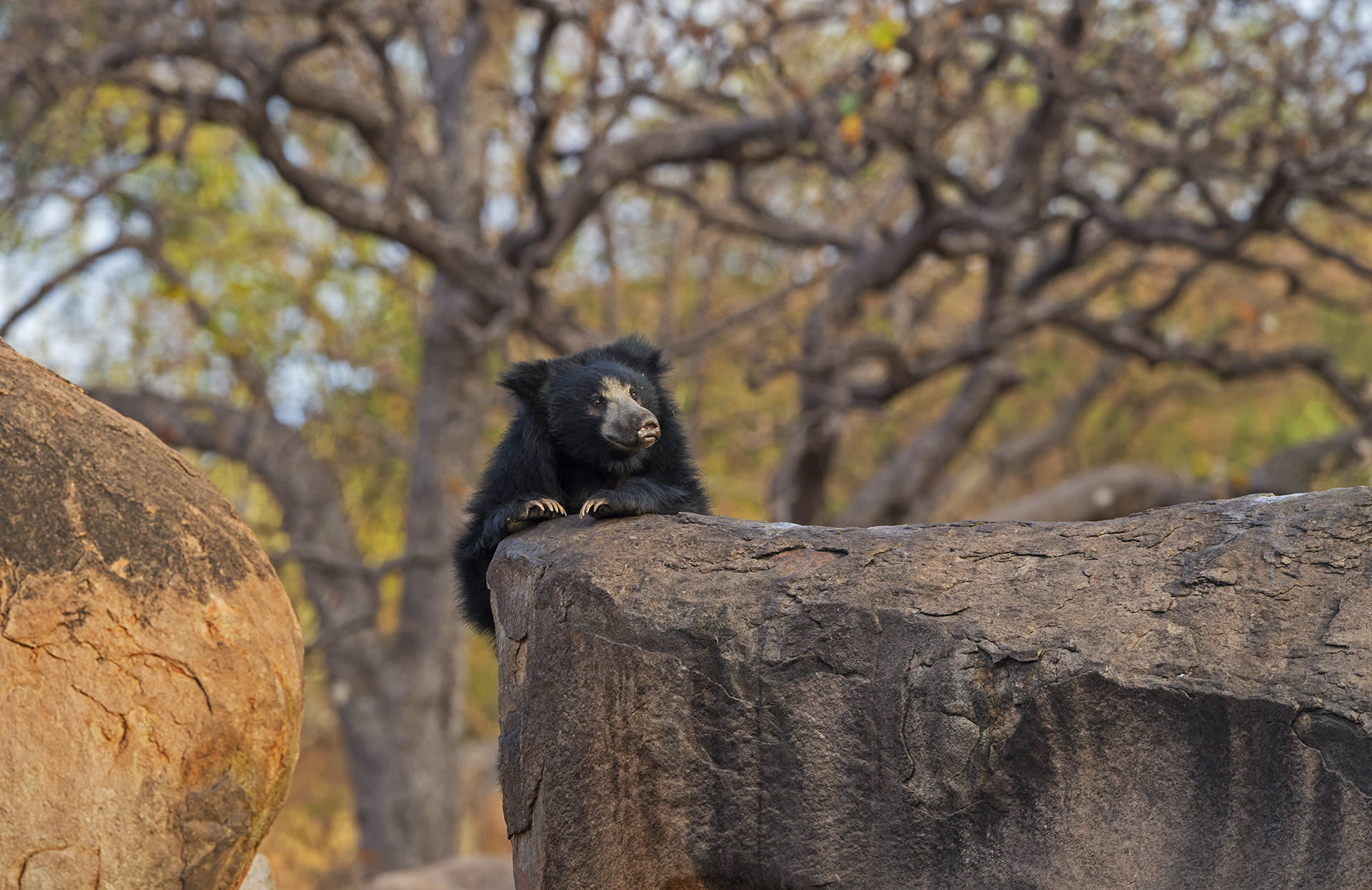 """Sloth bears are largely solitary, save for mature females in the company of their young. Their movements vary according to the time of year, phase of the life cycle, and proximity to human habitation. In wilder, forest areas, sloth bears emerge around dusk though """"sub-adults and females with dependent young limited their activity to daylight hours,"""" writes the authors of Mammals of South Asia, adding that """"this might be to temporarily avoid  other bears and predators."""""""