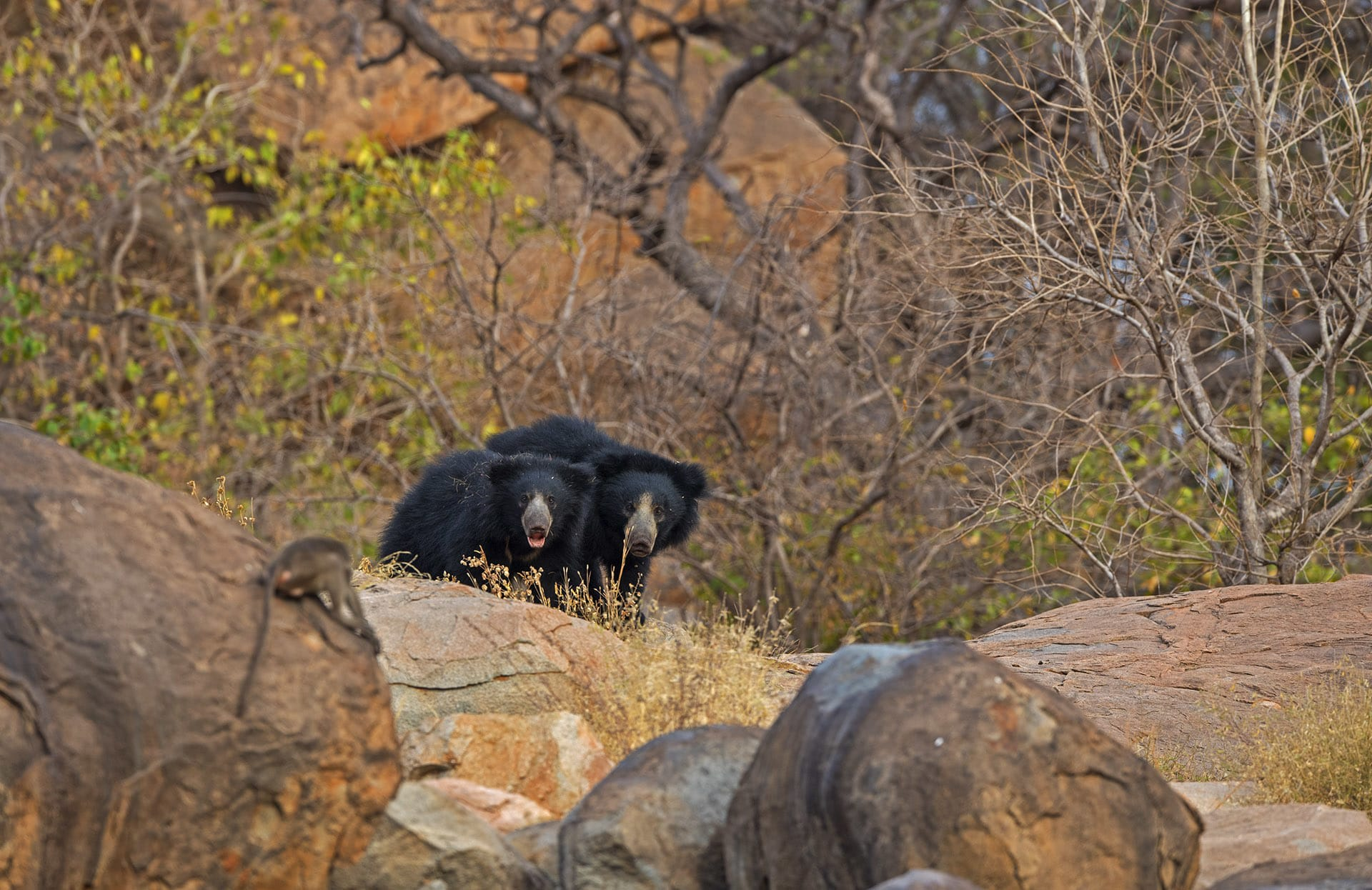 As human populations in India swell, interactions with wildlife such as sloth bears is on the rise. Now more than ever, it is crucial that we understand the ecological needs of sloth bears, so we may reduce violent encounters, and perchance, even co-exist with these seed-dispersing, insect-loving guardians of the forest.