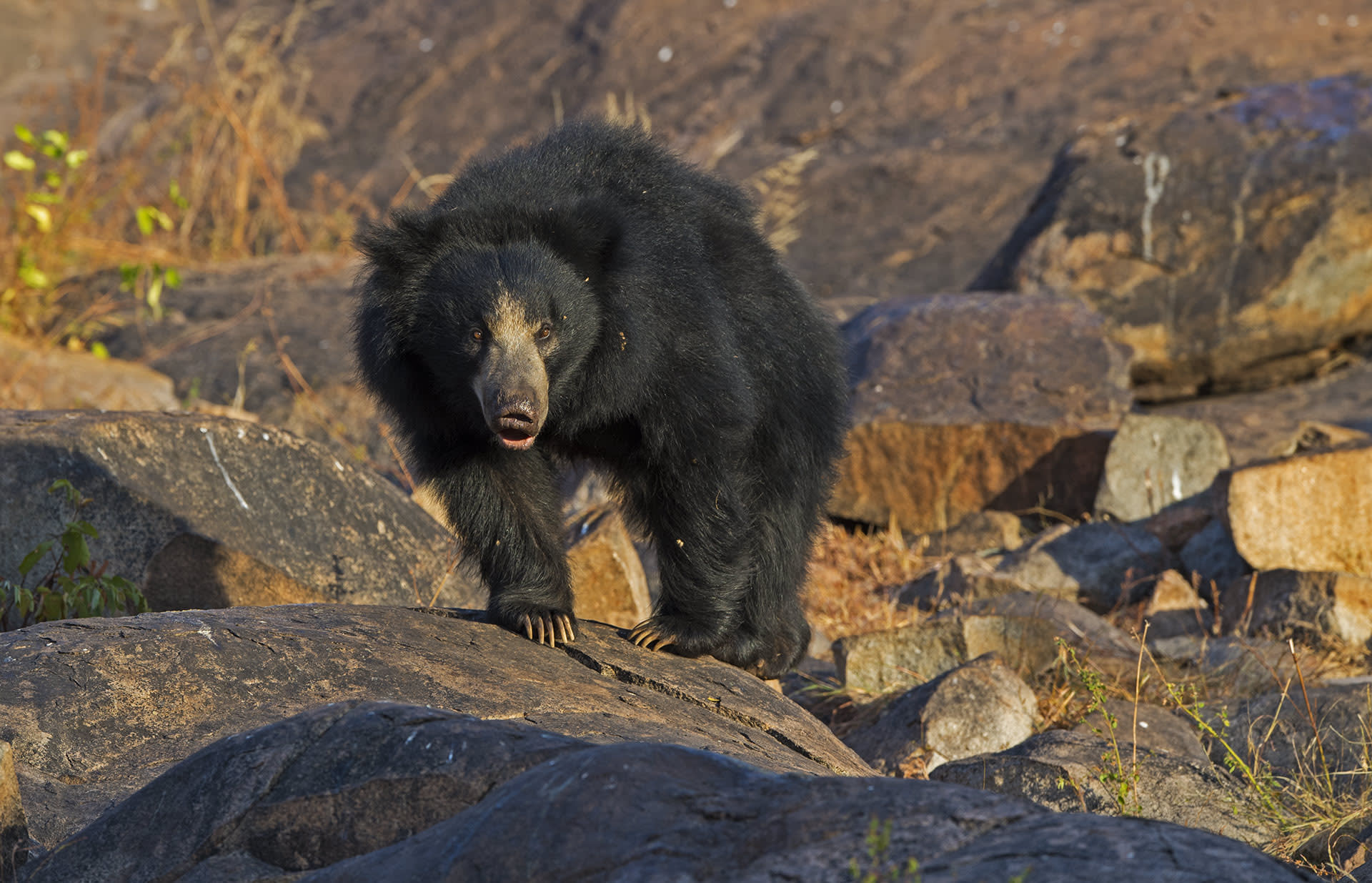 """""""Wild sloth bears generally do not frequent areas used by humans,"""" writes Nishith Dharaiya in the article, Escalating Human-Sloth Bear Conflicts In North Gujarat: A Tough Time To Encourage Support For Bear Conservation, """"but when streams and waterholes in forests dry up, and where suitable habitat is limited, bears might predictably move towards sources of water or food at villages and in doing so increase their chances of encountering humans."""""""