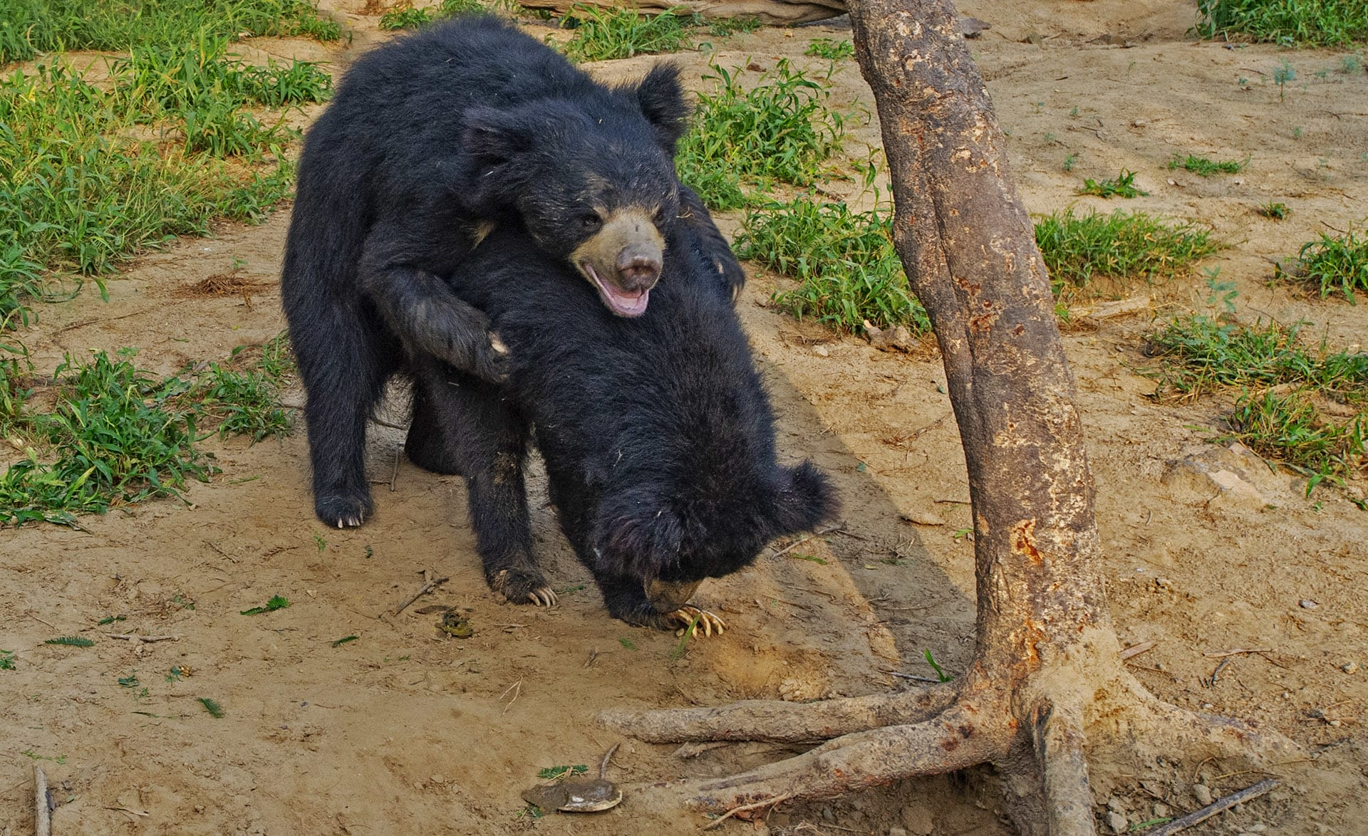 """According to the IUCN, """"sloth bears typically breed May through July, and females give birth, usually to one or two cubs, from November to January."""" Females birth their young in cavernous dens and look after their young for up to two years after they are born. Males are not involved in the parenting process, but camera-trap studies by Wildlife SOS """"report the use of chemical communication techniques by the male bears in order to mark the den sites. These include pede-marking [marking made with feet], defecation, urination and rubbing or scratching against trees."""""""