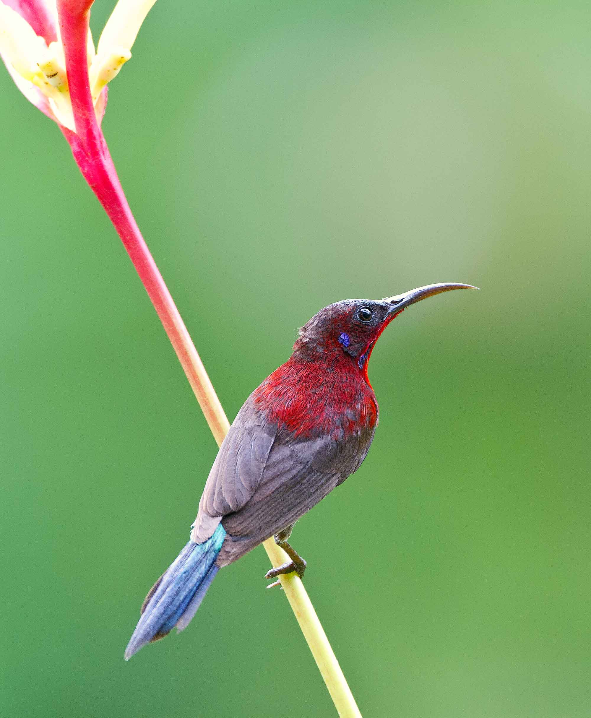 """Vigors's sunbirds (Aethopyga vigorsii) are also endemic to the Western Ghats. """"They are found only in the northern Western Ghats, which is weird because the southern Western Ghats generally have a higher percentage of endemic species,"""" says Dalvi. Vigors's sunbirds forage actively in small flocks in the upper levels of the foothills of these hills, in forests and edges of forests. Photo: Rajan Hatiskar, CC BY-SA 4.0"""