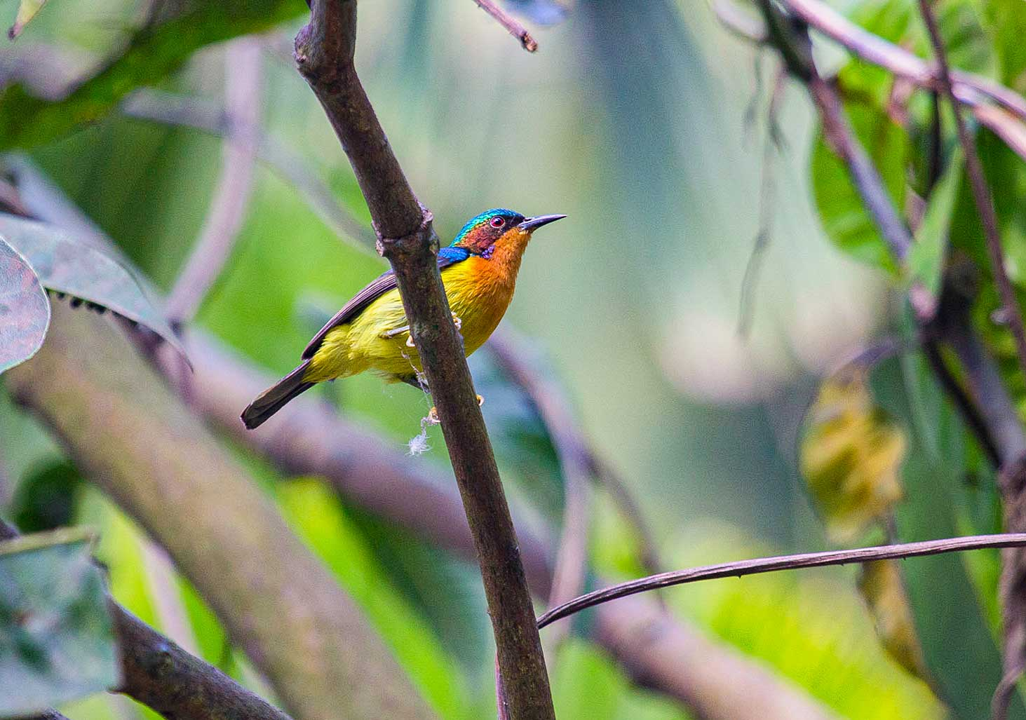"""Sunbirds are among the smallest of avians. Most species, like this ruby-cheeked sunbird (Chalcoparia singalensis), weigh less than ten grams. Ruby-cheeked sunbirds are found across Southeast Asia in moist forests and forest-adjacent habitats. """"This is a predominantly low-elevation species, found in the lowland evergreen forests of northeast India,"""" says Dalvi. """"They have much straighter bills compared to other species and are commonly seen in Assam's Kaziranga and Nameri National Park."""" Photo: Imon Abedin  Cover photo: A male green-tailed sunbird in West Bengal. Photo: Arindam Bhattacharya"""