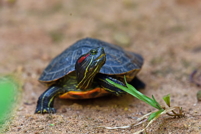 Red-eared slider from Kerala. The invasive species is often abandoned in water bodies by pet owners. Photo: K.A. Shaji