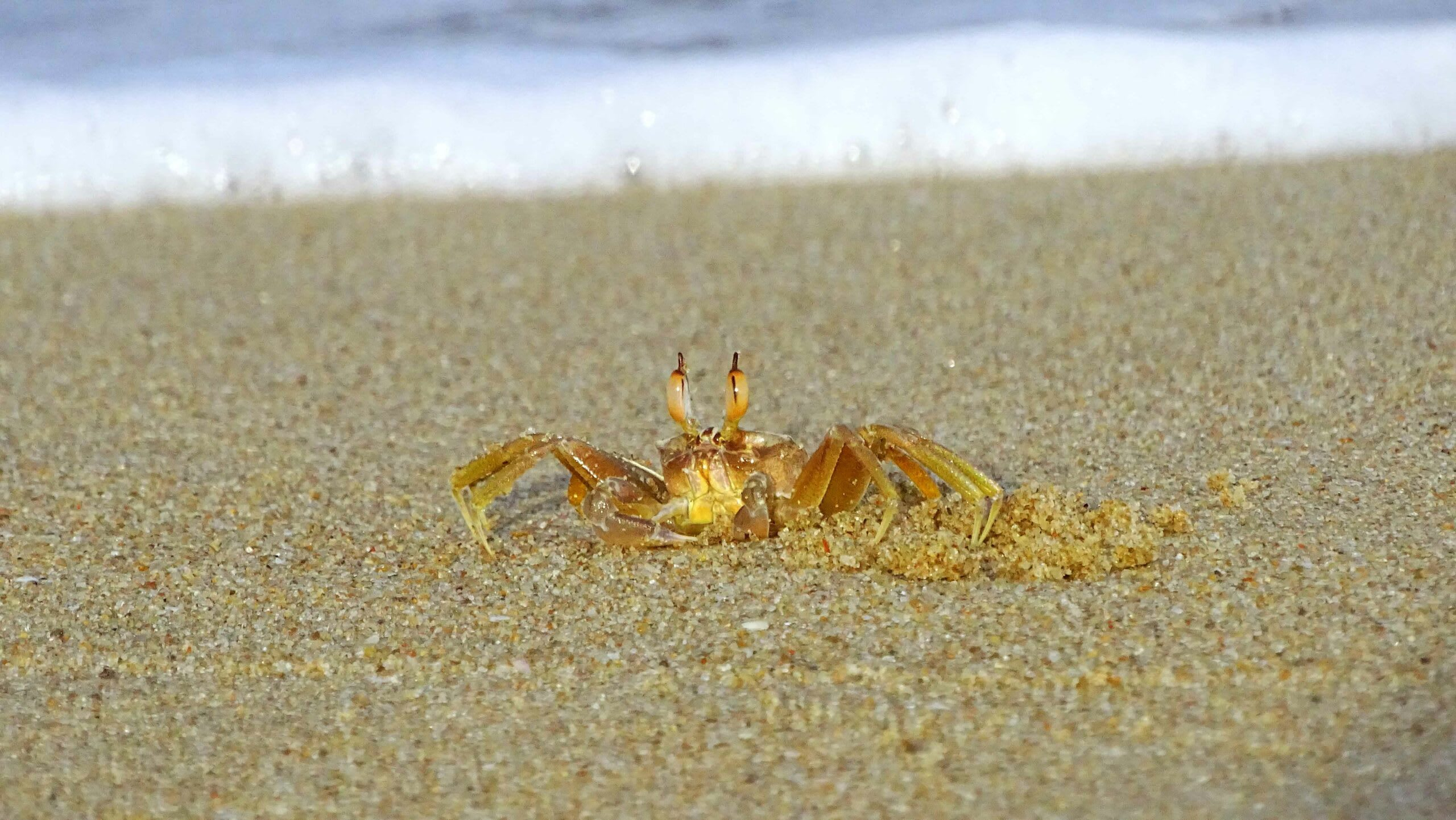 A young horn-eyed ghost crab rests beside its burrow. All ghost crabs build complex, deep burrows. They stay hidden in them during the hottest part of the day and step out to forage when the sun isn't as sharp.