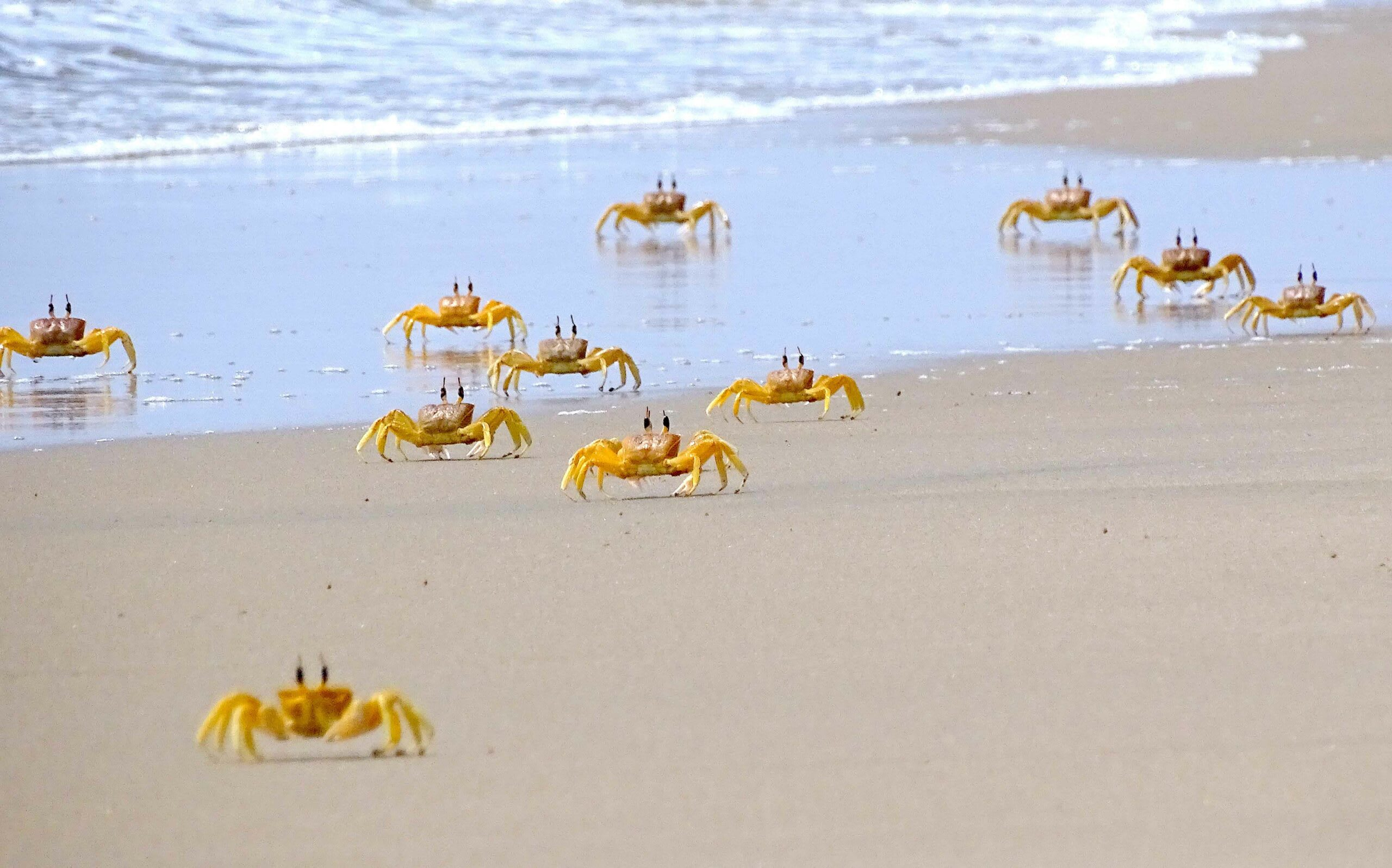 Ghost crabs, such as these on Elliot's Beach, Chennai, may be seen in abundance scuttling about on the shore, but each one builds a single burrow and lives alone in its carefully crafted shelter.   Cover Photo: The red ghost crab occupies the intertidal sandy shores and mudflats of tropical and sub-tropical coasts. Their elongated and cylindrical eyestalks give them periscopic 360-degree vision.