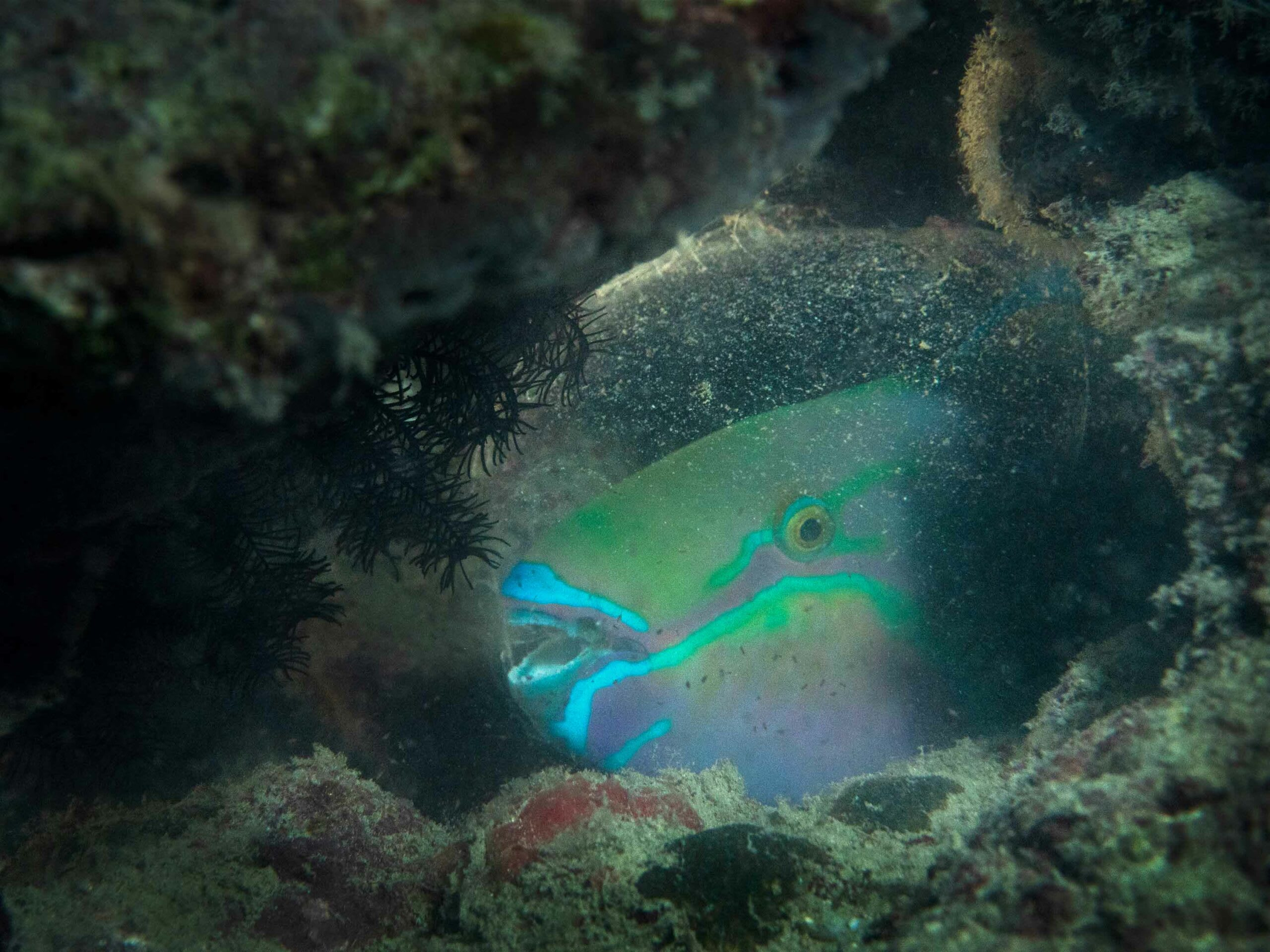 (Top) A video of stonefish  (Synanceia)  camouflaged. (Above) A sleeping parrotfish is holed up inside a mucous bubble of its own making to mask its odours from reaching nocturnal predators like sharks and eels.  Photo and video: Umeed Mistry
