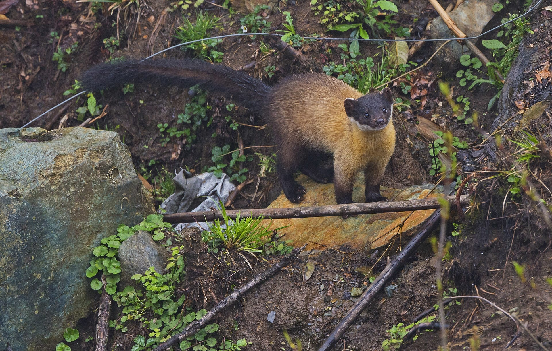 """In India, martens are regular visitors to garbage dumps in hill towns and villages. """"In many of these mountain communities, garbage is thrown down slopes near homes,"""" says Raman Kumar, """"We were doing a small study on garbage close to Nainital — of people dumping stuff on the edge of the forest. There too, the marten was a regular visitor. I've also seen them in the higher parts of Mussoorie and Dehradun in the day."""" Photo: Dhritiman Mukherjee"""