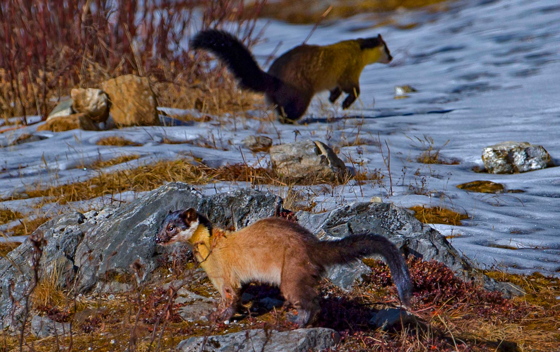 """Wildlife photographer Dhritiman Mukherjee has seen the yellow-throated marten countless times across the Himalayan range. """"They are all over Uttarakhand, but I've also seen them in Singalila in West Bengal, Eaglenest in Arunachal Pradesh, and in some parts of Himachal too.""""  This photo was taken in Pangolakha Wildlife Sanctuary in eastern Sikkim. The sanctuary is located at 4,200 m — about the highest altitudes at which the yellow-throated marten is found. """"It was wintertime, and this pair was hunting in the snow, looking for something to eat,"""" Mukherjee says. """"Walking through the forest, we would see them at least once a day."""" Photo: Dhritiman Mukherjee"""