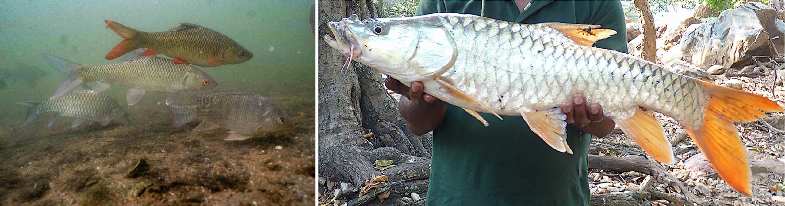 (Left) Introduction of invasive species such as the tilapia is hampering the habitat of the mahseer. (Right) Adult orange-finned mahseer or humpback mahseer caught from the Moyar River. Photos: Joshua Barton (left), Pinder et al, CC BY 4.0 (right)