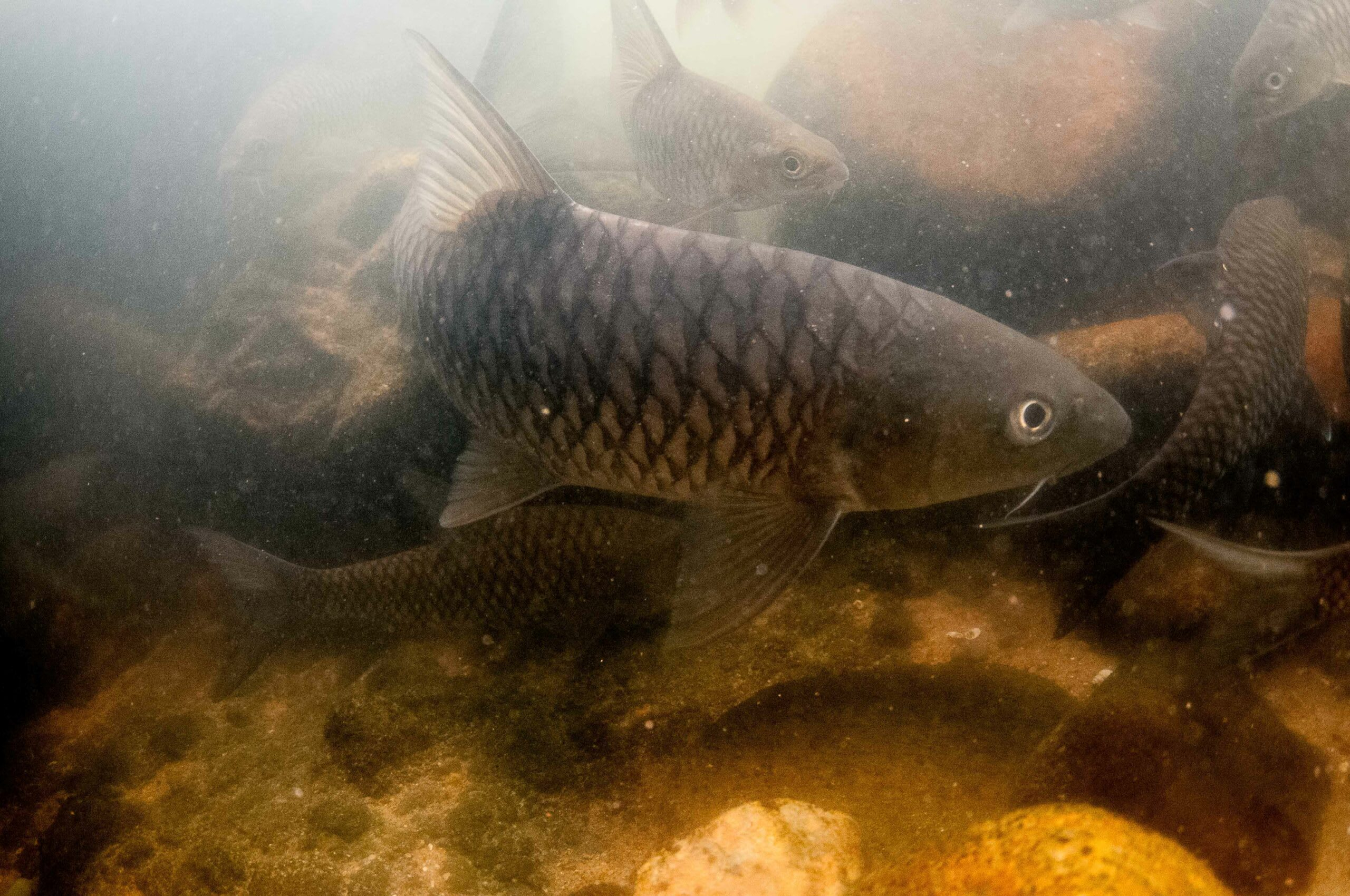 Mahseer are omnivores and feed on plants, small fish, and invertebrates. Their powerful jaws and fleshy lips are adapted for pulling out prey even from the river bed. Photo: Joshua Barton