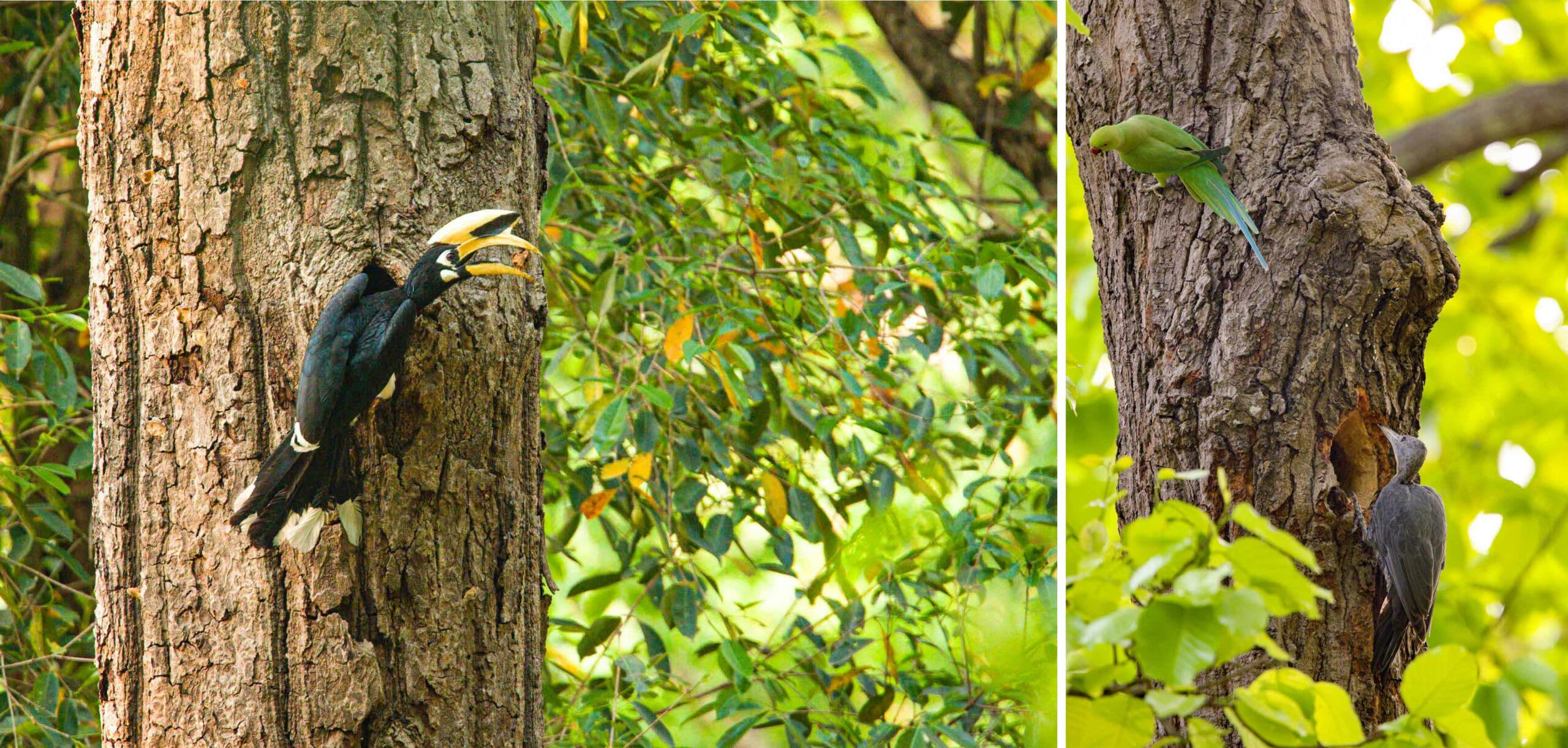 A woodpecker's cavity is used and reused multiple times by different species of birds. (Left) An oriental pied hornbill nests in an old cavity carved by the great slaty woodpecker. (Right) A parakeet eyes a great slaty woodpecker's occupied cavity. Photos: Martjan Lammertink (left), Raman Kumar (right)
