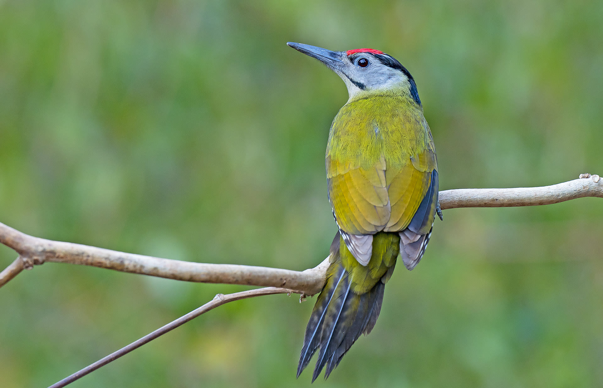The grey-headed woodpecker is easily recognised because of its grey face with black moustache-like stripe across.  It's only the males that sport a red cap. Photo: Dhritiman Mukherjee
