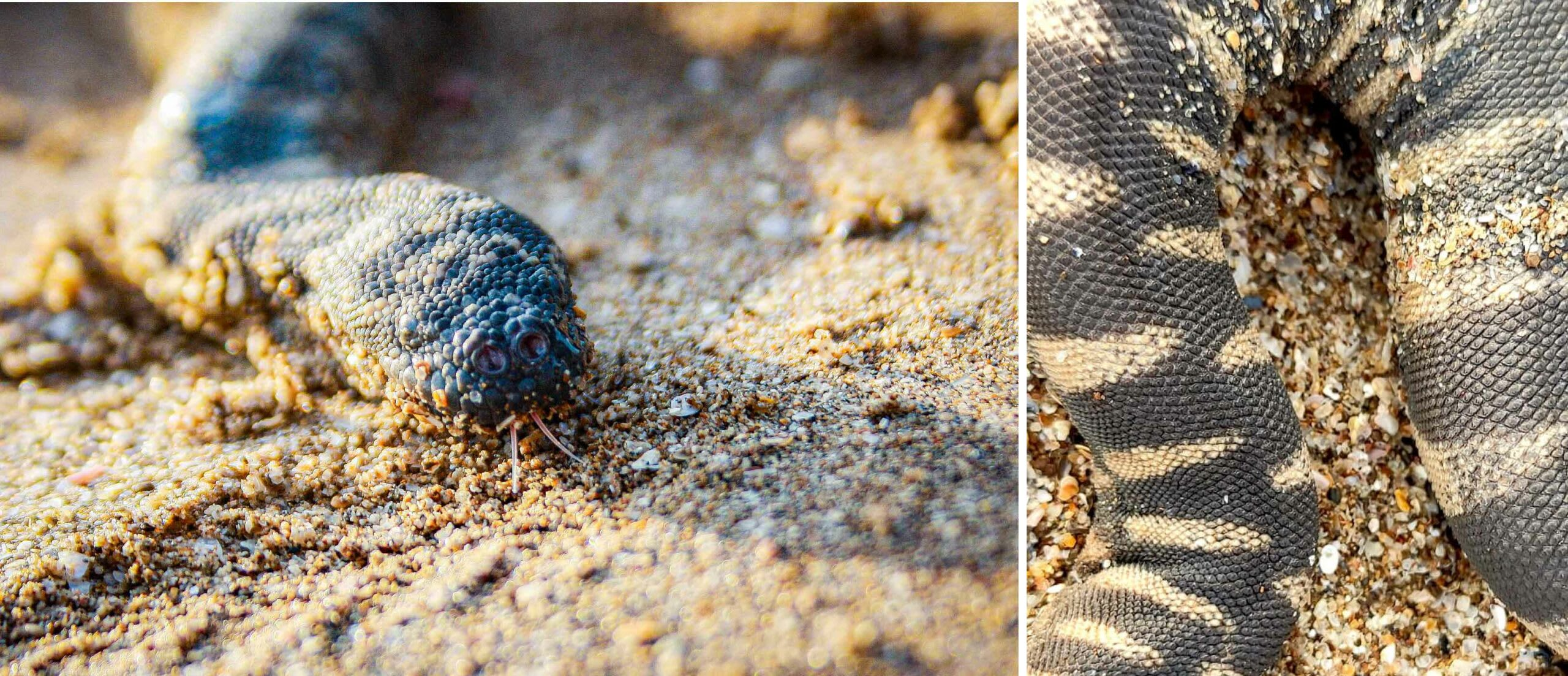 The little file snake's tongue (left) enables it to smell underwater, and its rough scales (right) give it support and allow it to get a good grip on prey in the ever-flowing tidal mangrove creeks. Photos: Gaurav Patil (left), Rahulratan Chauhan (right)
