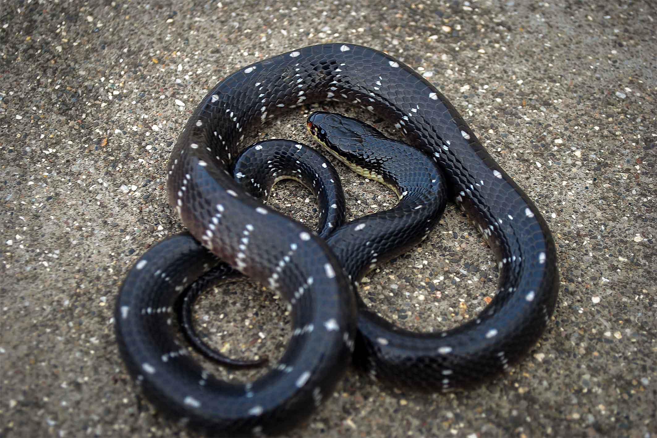 """Sind krait (Bungarus sindanus) is what is called a """"species complex"""" by taxonomists. The common Sind krait (Bungarus sindanus sindanus) and the Wall's Sind krait (Bungarus sindanus walli) are two subspecies within this group. It was first described in 1897 by Albert Boulenger, a zoologist of Belgian-British origin, and named after the Sind province, Pakistan, from where it was collected. The snake is found in northwestern India, and subspecies seen throughout the Deccan Plateau. Their bites are fatal. These snakes are medically important and determining the species is necessary to produce the right kind of antivenom, which is often variable within a species and between closely related species. Photo: Girish Choure"""