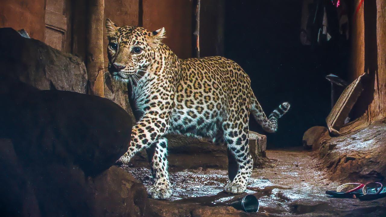 Leopards – Magazine | RoundGlass