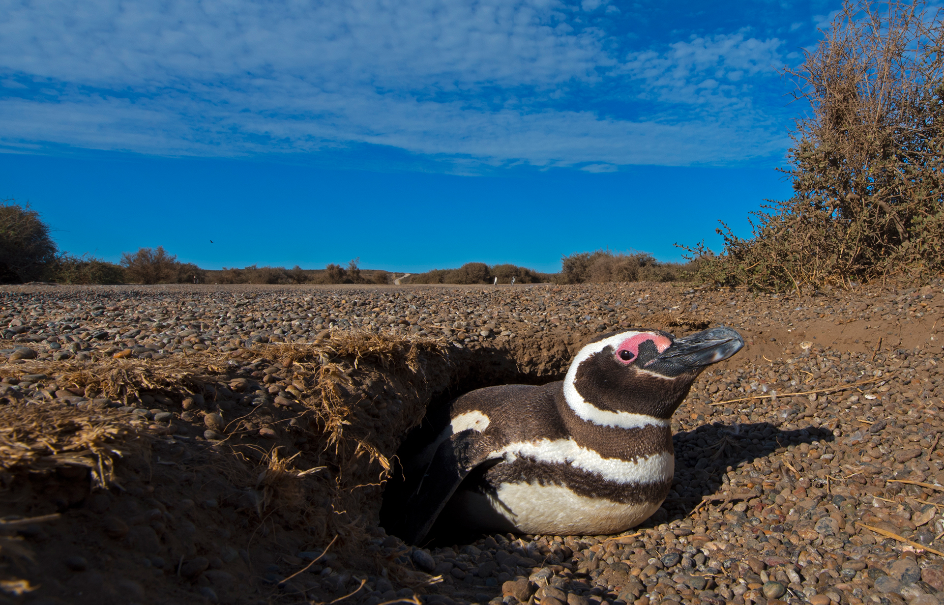 Magellanic penguins in the Valdes Peninsula nest in hidden burrows in the soil. They sometimes dig up to one metre in depth and end in a round chamber. Two eggs are laid, and the parents take turns incubating them, while the other forages in the ocean. Once hatched, chicks are brooded for 3-4 weeks, during which time the parents leave them in the burrows, only coming back to feed them every two or three days.
