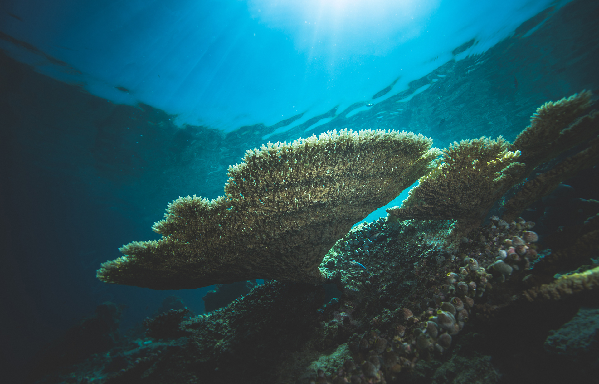 Almost all corals, like this table coral, are found fairly close to the surface. Corals contain algae that live symbiotically with them; algae need sunlight for photosynthesis, and in turn feed the coral.