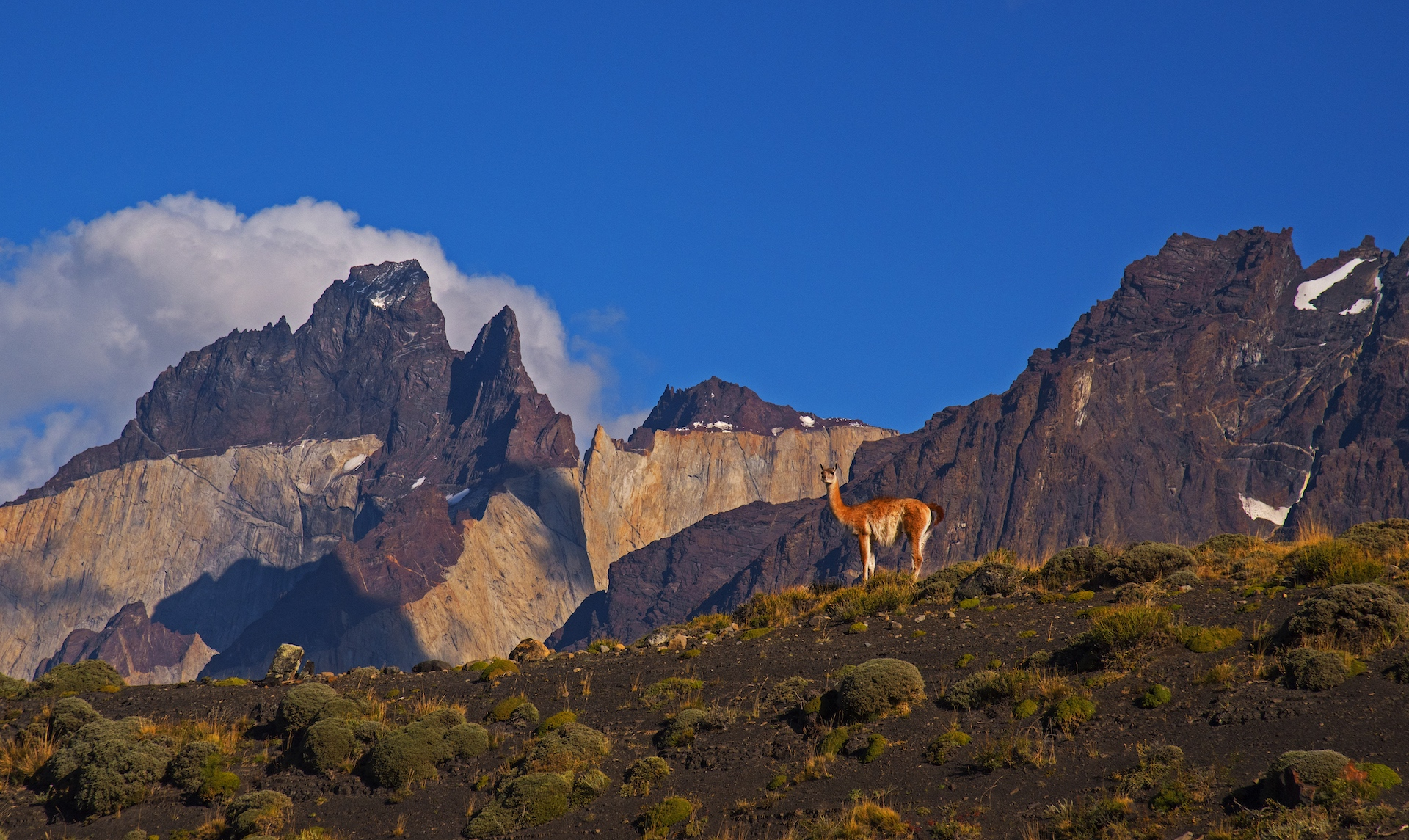 Early in the morning, a sentinel stands guarding its herd, with the sheer granite peaks and dark metamorphic rock of the Torres del Paine in the background. The leader of a pack may stand on guard on a high ledge or assign another member of the group the task. If danger is near, the sentinel's job is to let out a high-pitched shriek that gives the rest of the herd the signal to flee.