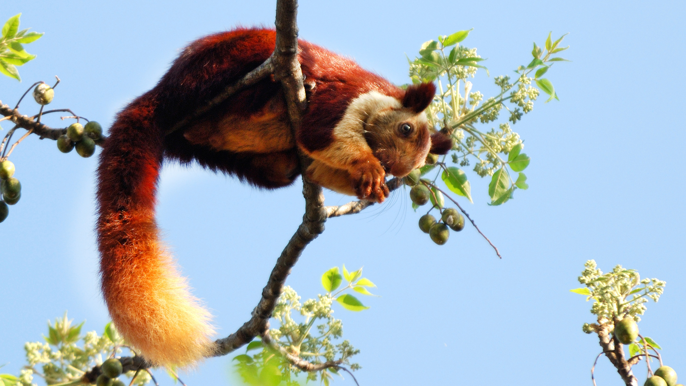 Bright Ball of Fur: The Malabar Giant Squirrel | RoundGlass