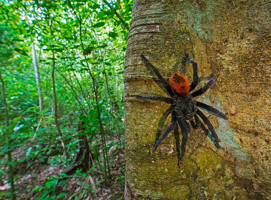 Around 66 species of tarantulas have been identified in Mexico. Like other arachnids, tarantulas have eight hairy legs. An additional pair of appendages they possess are sensory—used for hunting, sensing vibrations, and in the male, for reproduction. They also have a pair of fangs, but contrary to popular belief the bite of the tarantula, though venomous and painful, is not fatal to humans. If the tiny hairs from the tarantula's legs are deposited on human skin, it can cause itching and discomfort.