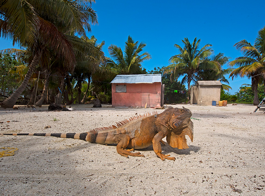 Iguanas can be found in many different colours and varieties in Mexico. This specimen was visiting the beach in Banco Chinchorro, probably to enjoy some sunshine. Interestingly, the white spot seen atop its head is the parietal eye, a photo-sensory organ that allows them to sense changes in light overhead. Iguanas spend most of their time in trees, keeping out of reach of predators like racoons and hawks. However, their biggest predators are now humans as iguanas are increasingly found in the pet trade.