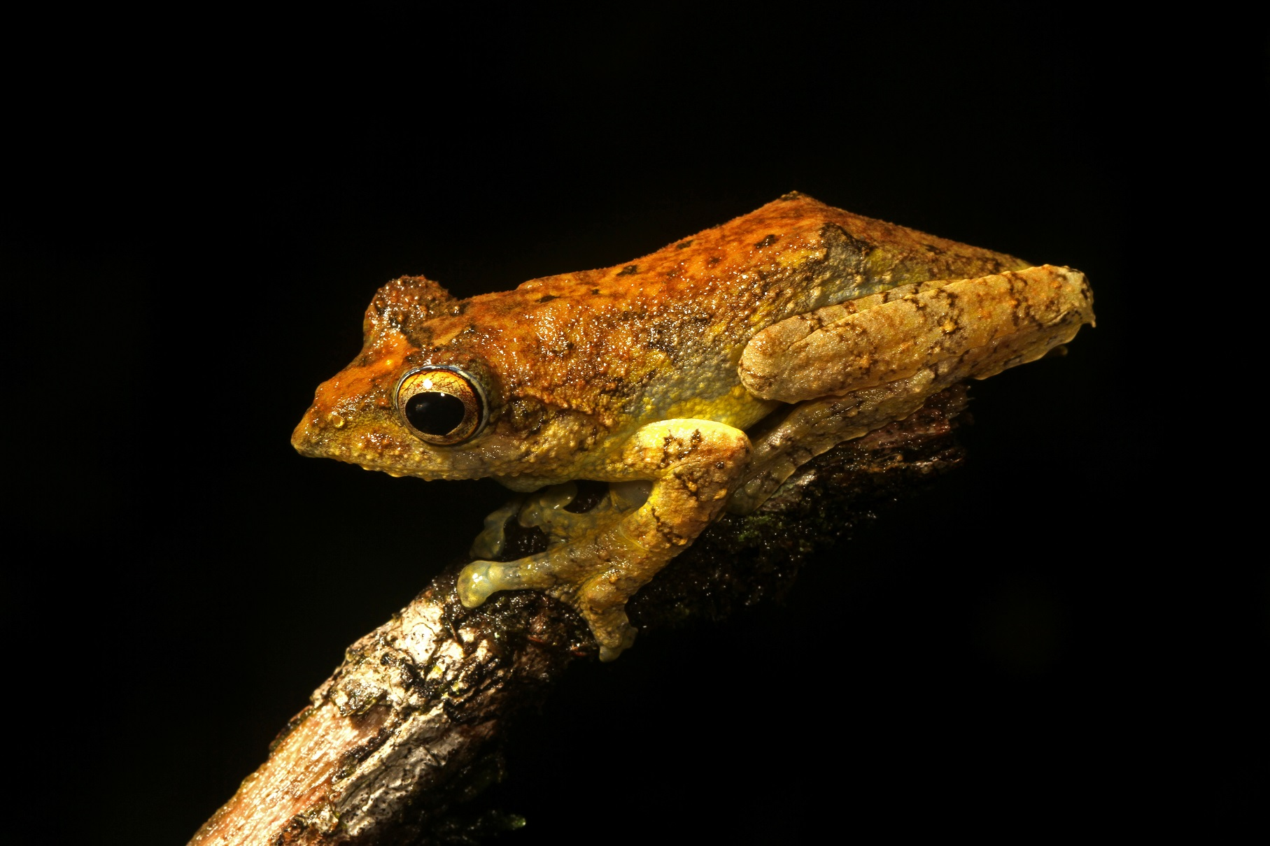 The Kalakad gliding frog is named after a forest in Tamil Nadu where it was first found.  Measuring about 6 cm from snout to vent, the frog's cryptic colouration allows it to camouflage itself in its wet evergreen forest habitat. Photo: David Raju  Cover photo: Dhritiman Mukherjee