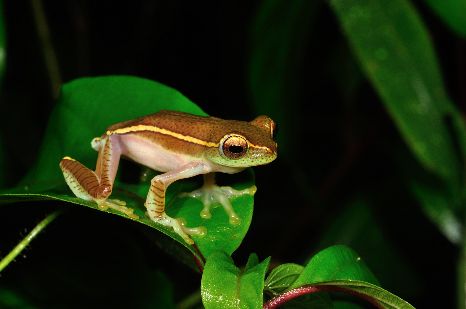 After it was discovered in 1883, the small gliding frog was lost to science, until it was rediscovered in the forests of Madikeri in the late 1990s.  The smallest of the gliding frogs found in the Western Ghats, it measures up to 4 cm.