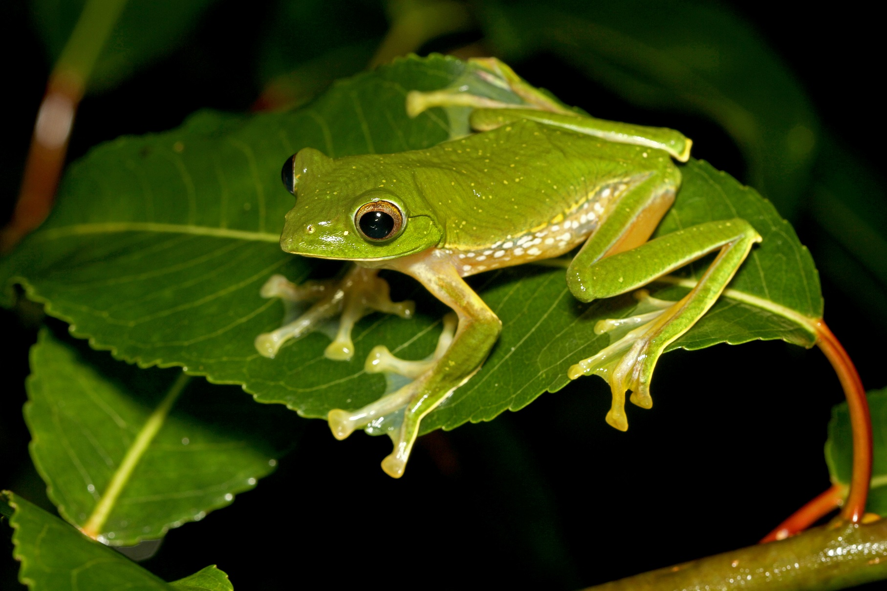 A resident of the shola forests of the southern Western Ghats, the Anaimalai flying frog looks similar to the Malabar gliding frog, which explains its scientific name 'pseudomalabaricus'. The frog, measuring up to 7 cm, is distinguished by a broad brown stripe with white spots along its flanks.