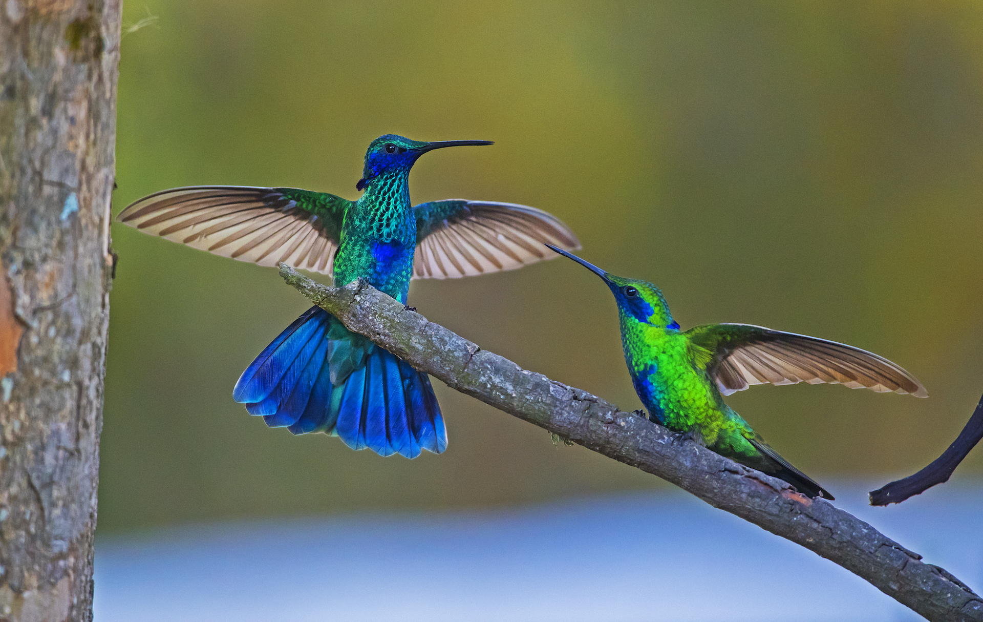 Most hummingbird species, including these green violetears, are solitary creatures that spend most of their lives alone, except for breeding. During courtship, males impress females with flamboyant flight patterns, increased wing speed. The males only involvement is during copulation. Males disperse once the act is over, and it is the female that build the nest and looks after her eggs and young ones