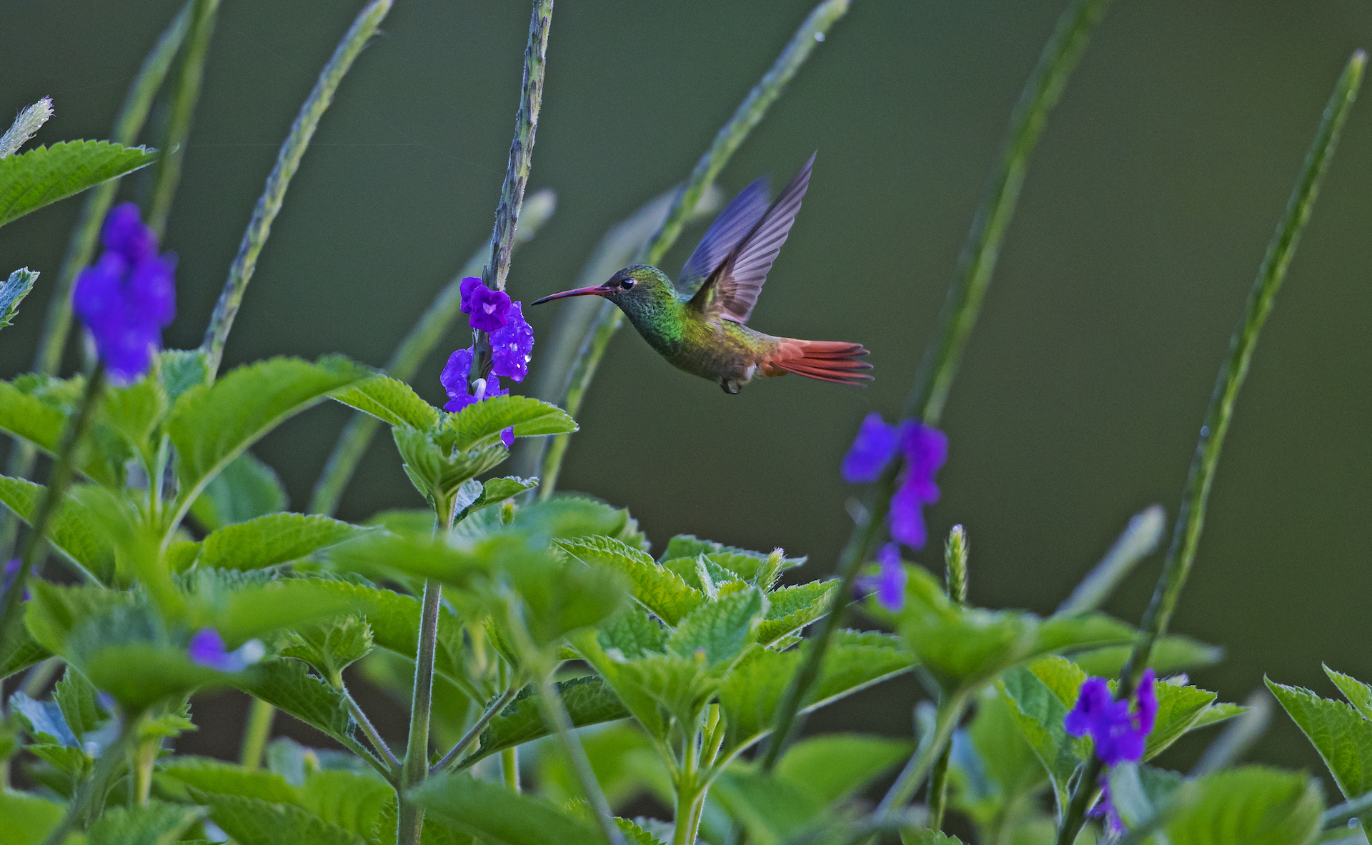 Hummingbirds spend their waking hours foraging for nectar. Like this rufous tailed hummingbird, they are voracious eaters that need to consume double their body weight in food every single day. To satisfy their energy needs, hummingbirds feed on an average of 5-6 times every hour. They can starve in as little as two hours if they don't have flowers to feed.