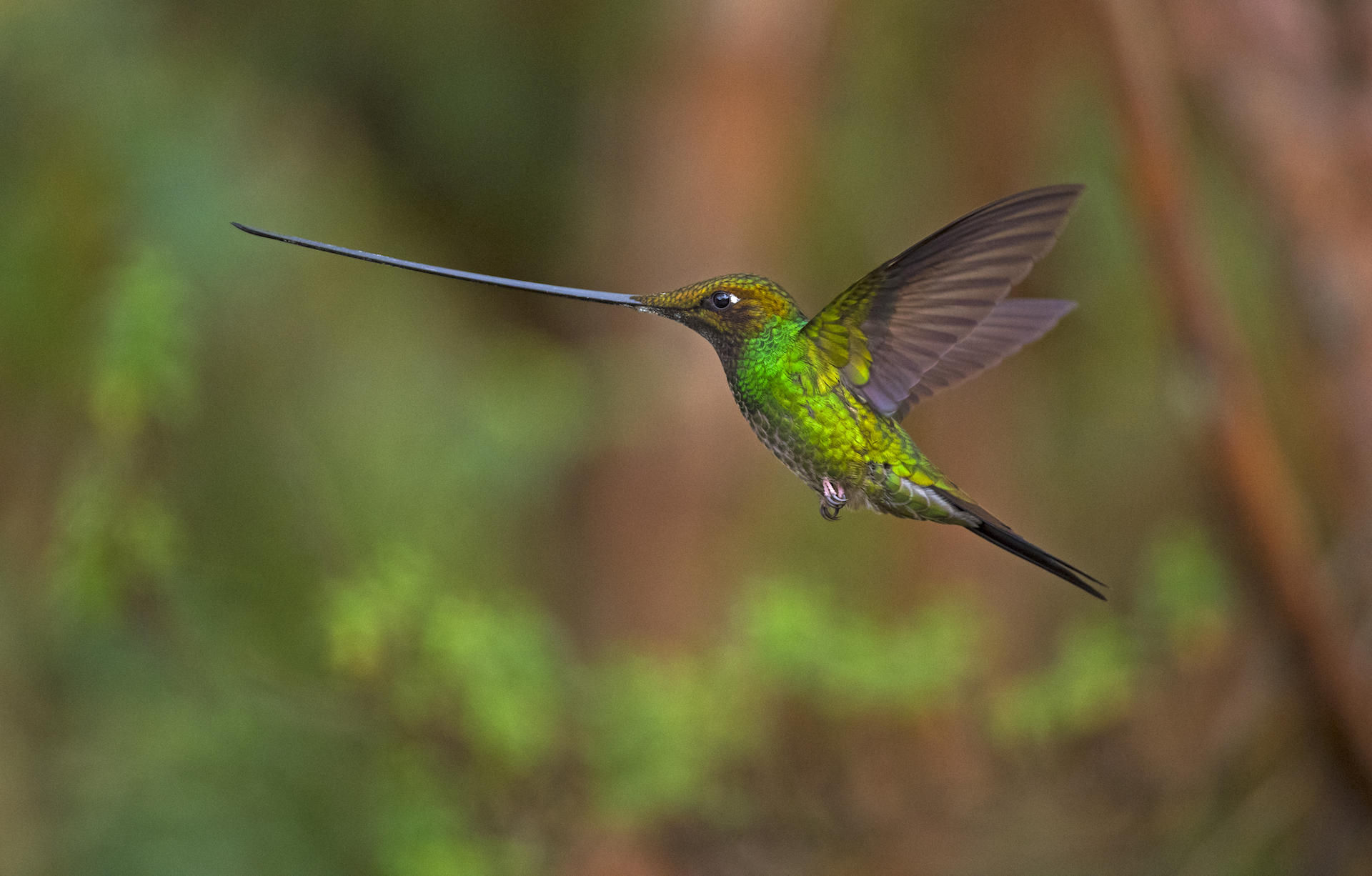 Other species, such as the sword-billed hummingbird, have evolved more obviously. This is the only bird with a bill that is longer than the length of its body, which it uses to extract nectar from flowers with long corollas.