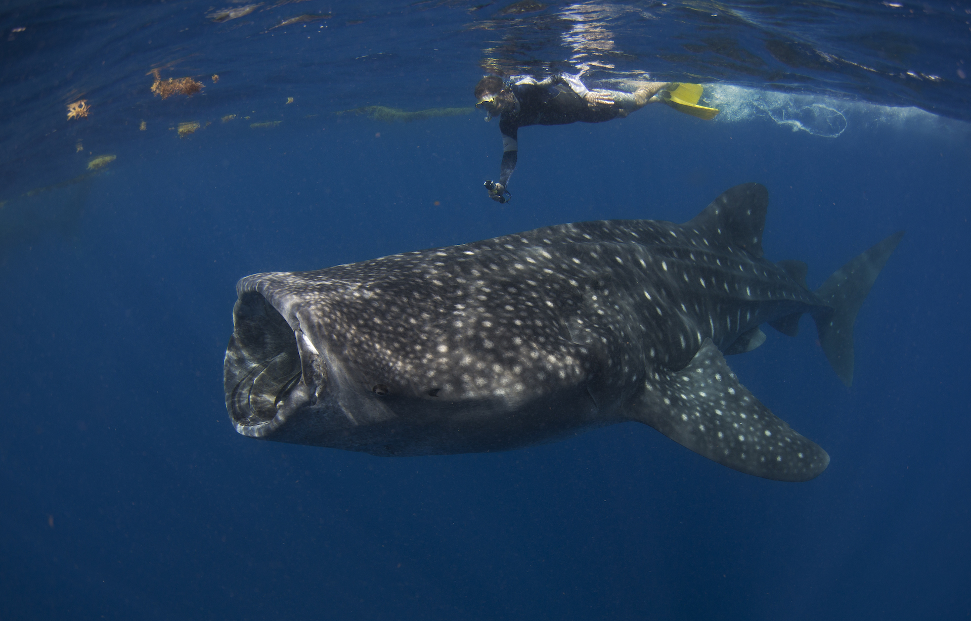 Just one hour by boat north of Isla Mujeres, hundreds of whale sharks congregate between June and September each year. Visitors are allowed to snorkel and dive with these gentle giants. Lucky visitors may be able to see up to 20 whale sharks in a single day.