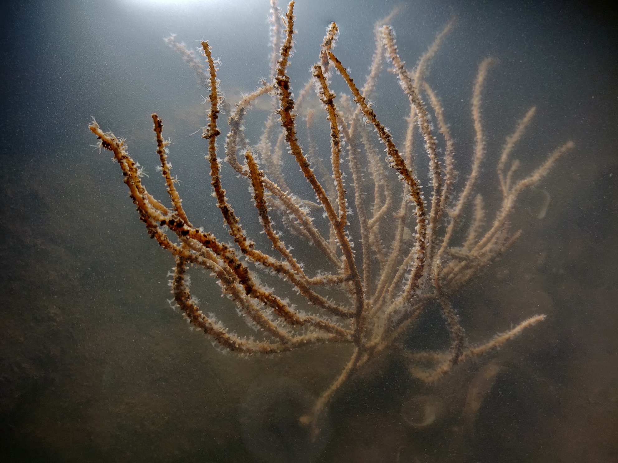 Endowed with a beautiful branching structure, sea fans usually anchor themselves in mud or sand. Photo: Sejal Mehta