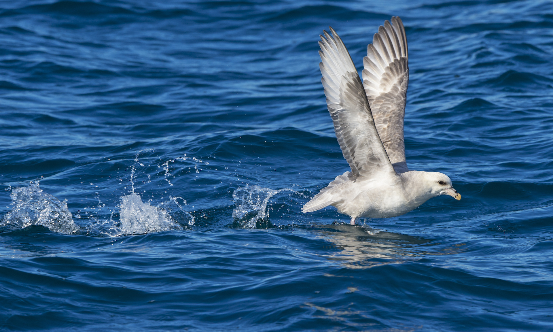 Northern Fulmars are opportunistic feeders, known to follow tourist boats in Svalbard, picking scrap food that might be tossed overboard, or hunting for fish in the wake of the water churned by the boat's movement.  Photo: Dhritiman Mukherjee