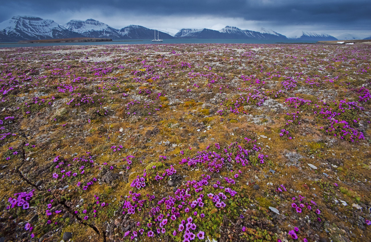 There are no trees in Svalbard. The plant species found here are herbaceous and grassy in nature, small in size, and grow largely in the summer months. Only ten percent of Svalbard thaws enough for vegetation to grow. The rest of the archipelago is covered in permafrost. Photo: Dhritiman Mukherjee