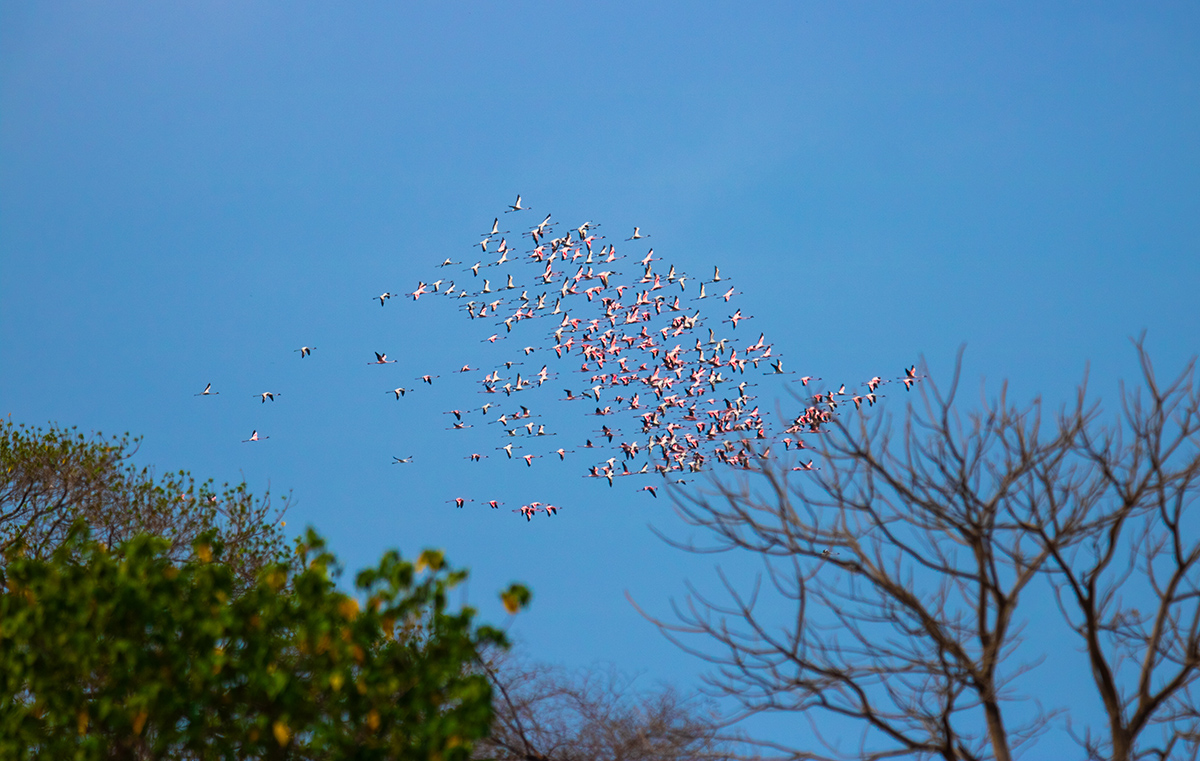 It is an absolute treat to watch huge flocks of pink, crimson, and black birds flying against a bright blue sky in the middle of a sprawling city. Photo: Sarang Naik