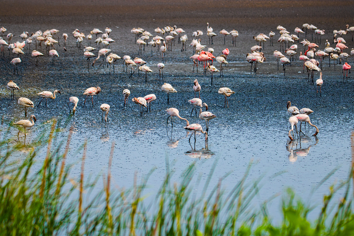 Flamingos use their feet to stir up the bottom of muddy flats or shallow waters, and their uniquely-shaped beaks are used to filter food from the mud and water they suck in. Photo: Sarang Naik